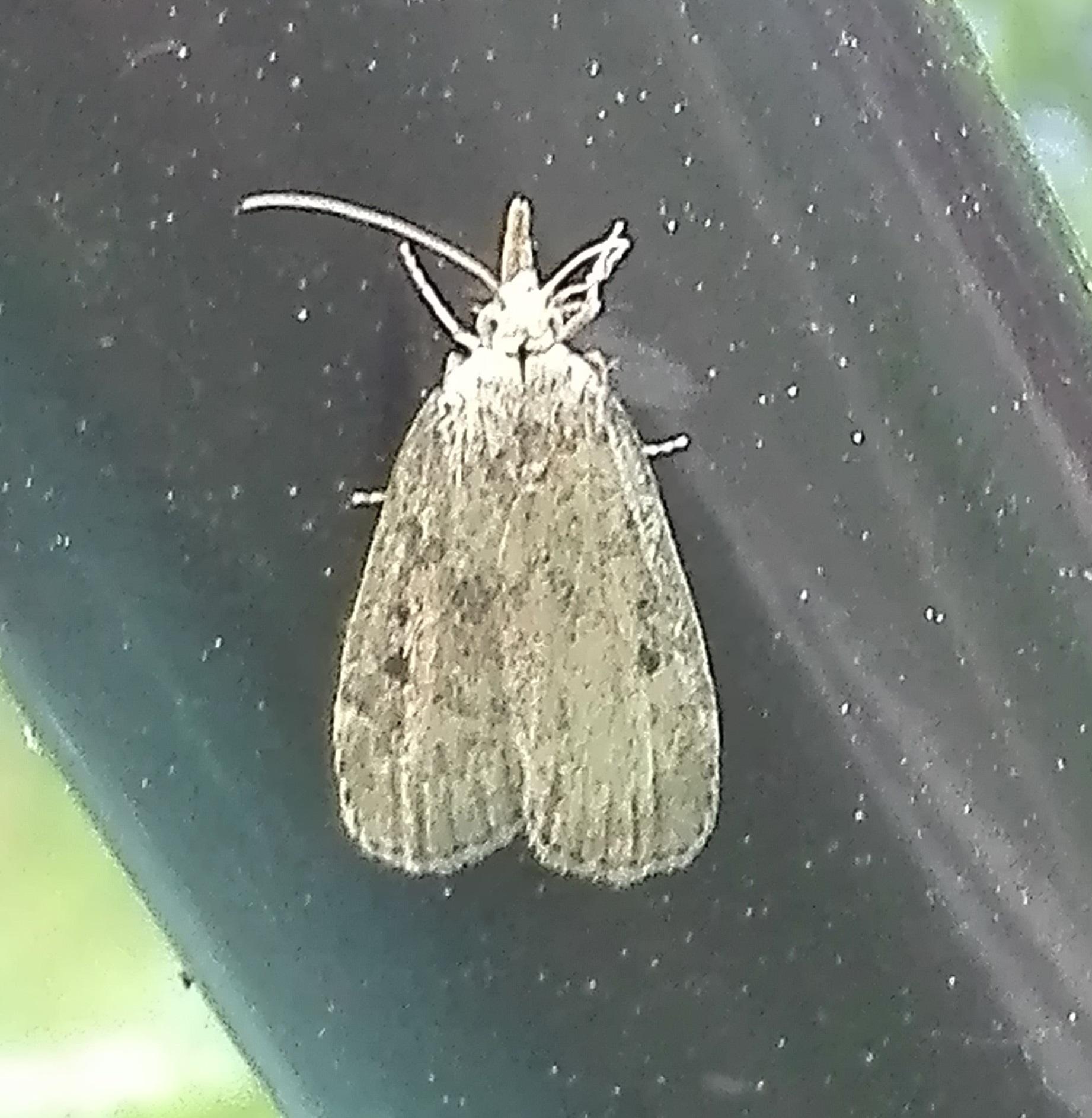 #491 Bee Moth (Aphomia sociella)