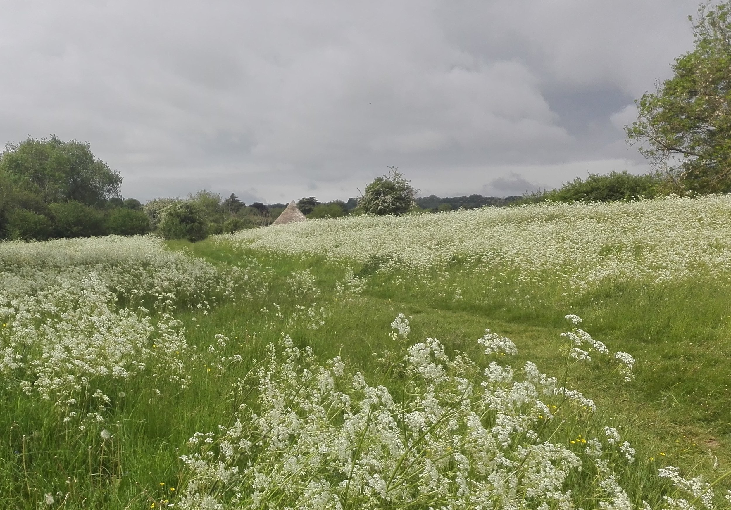 Cow Parsley (Anthriscus sylvestris) at Greystones Farm