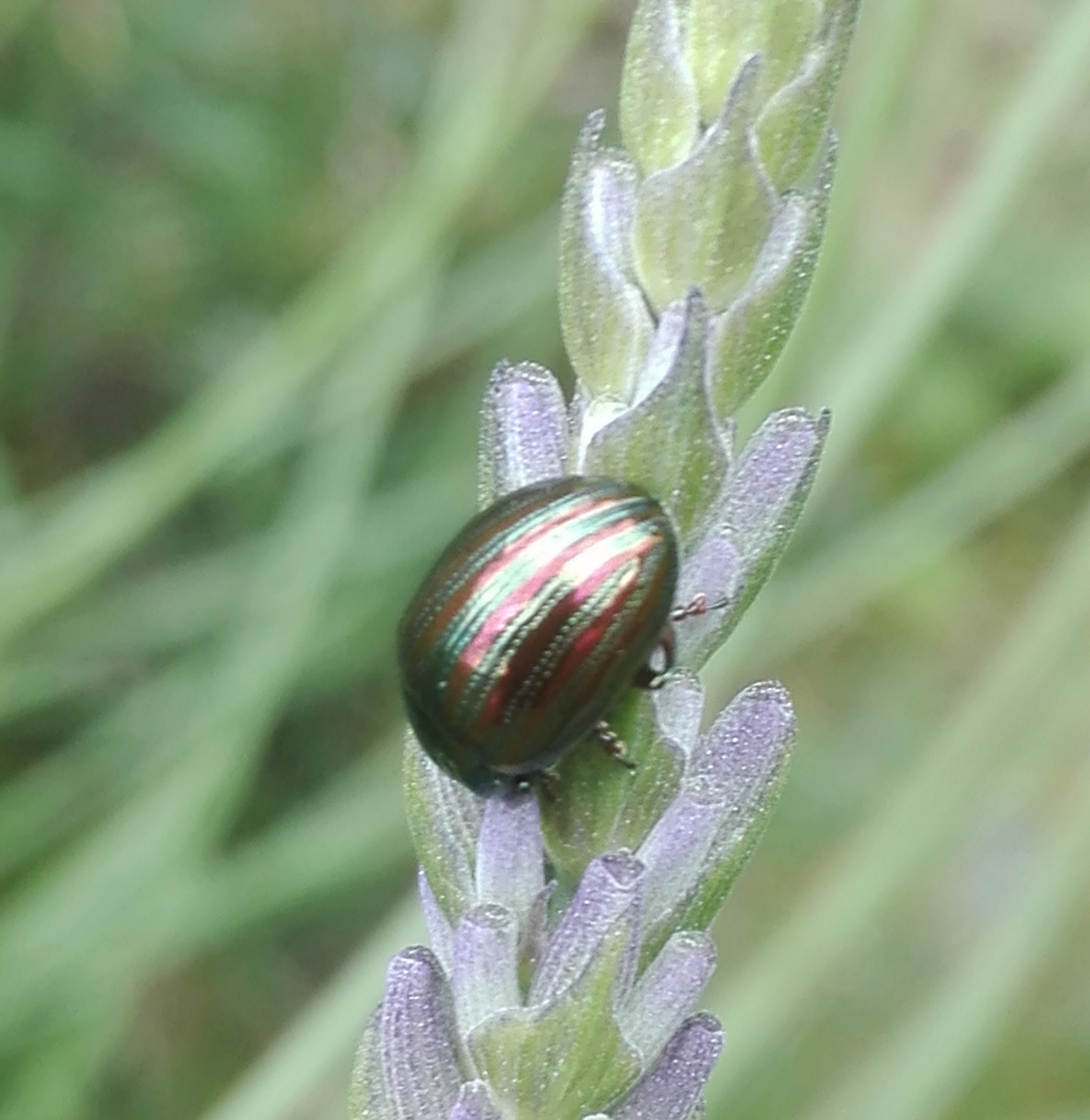 #509 Rosemary Beetle (Chrysolina americana)