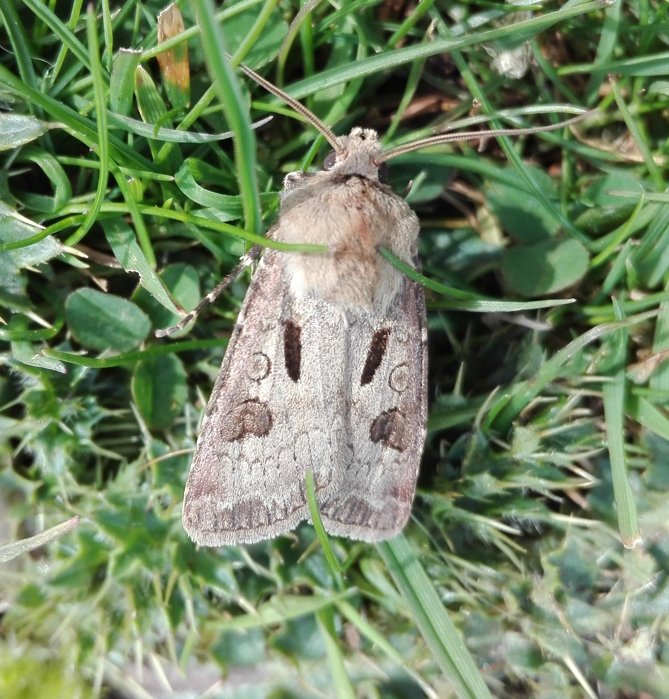 Heart & Dart Moth (Cleeve Hill)