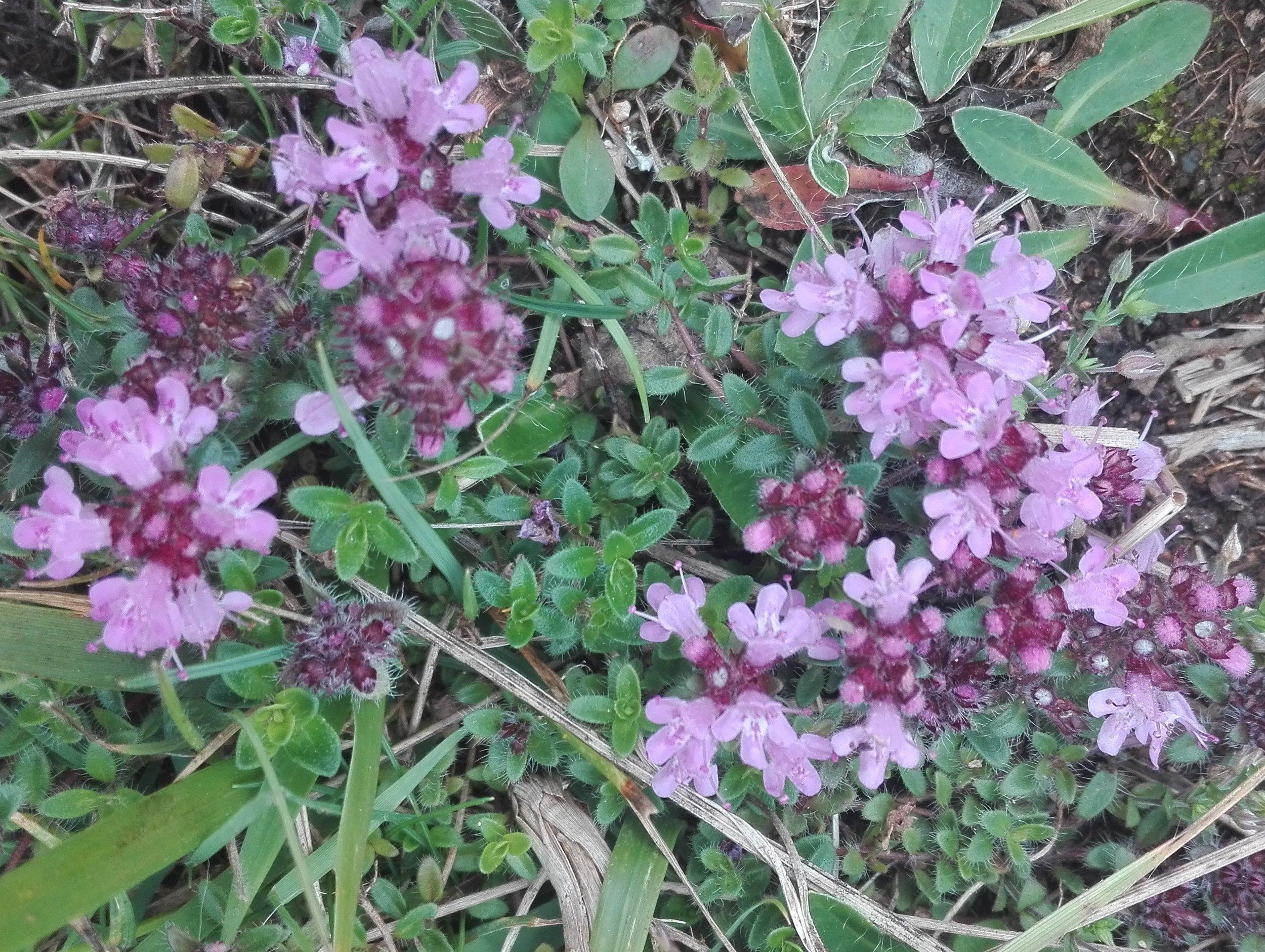 Wild Thyme (Bredon Hill)