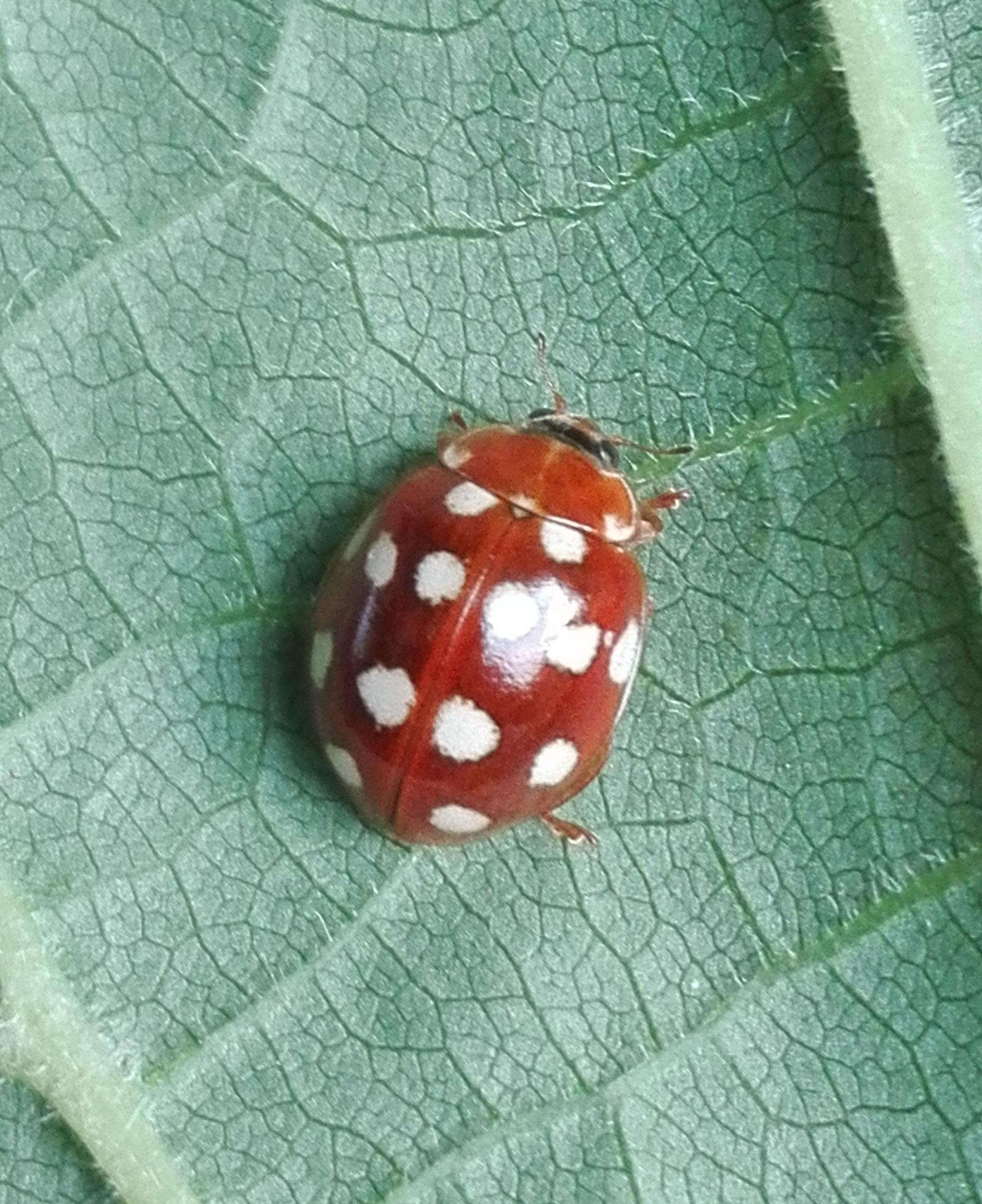 #515 Cream-spot Ladybird (Calvia quatuordecimguttata)