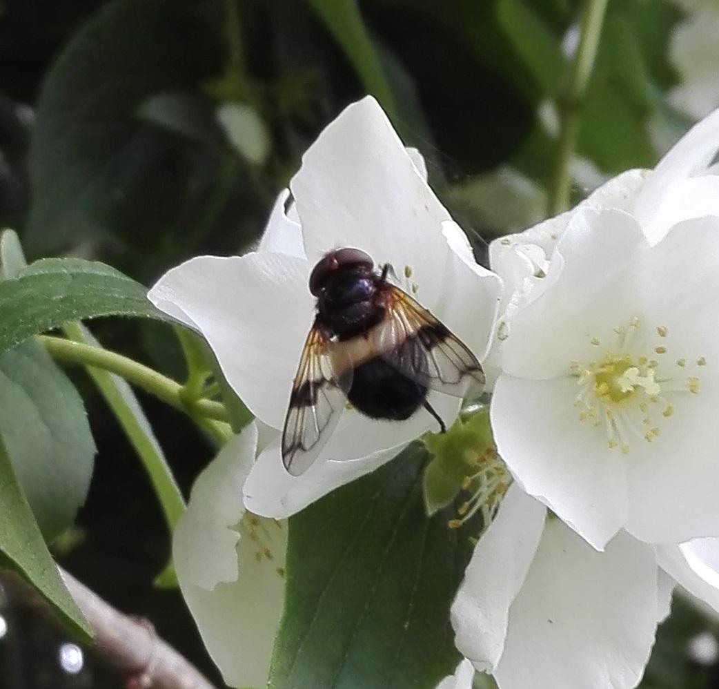 #517 Pellucid Hoverfly (Volucella pellucens)