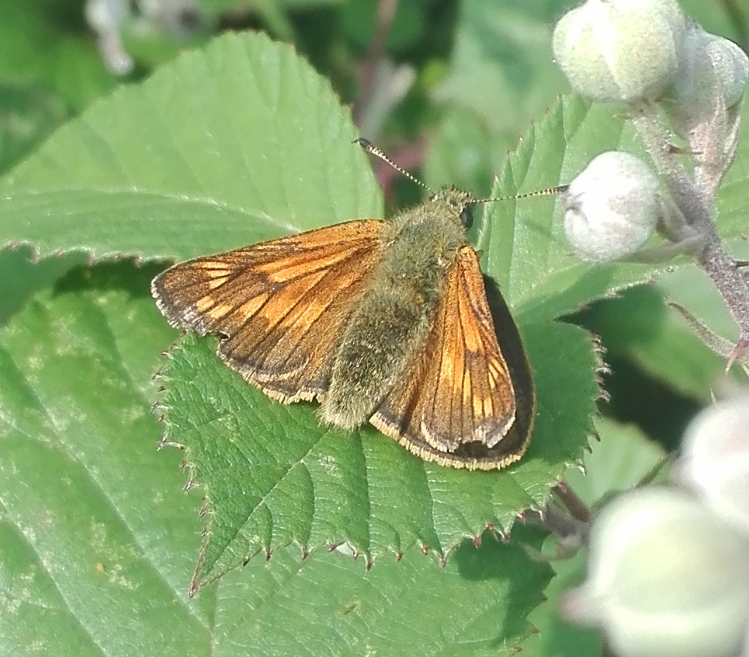 Large Skipper (Ochlodes sylvanus) - female