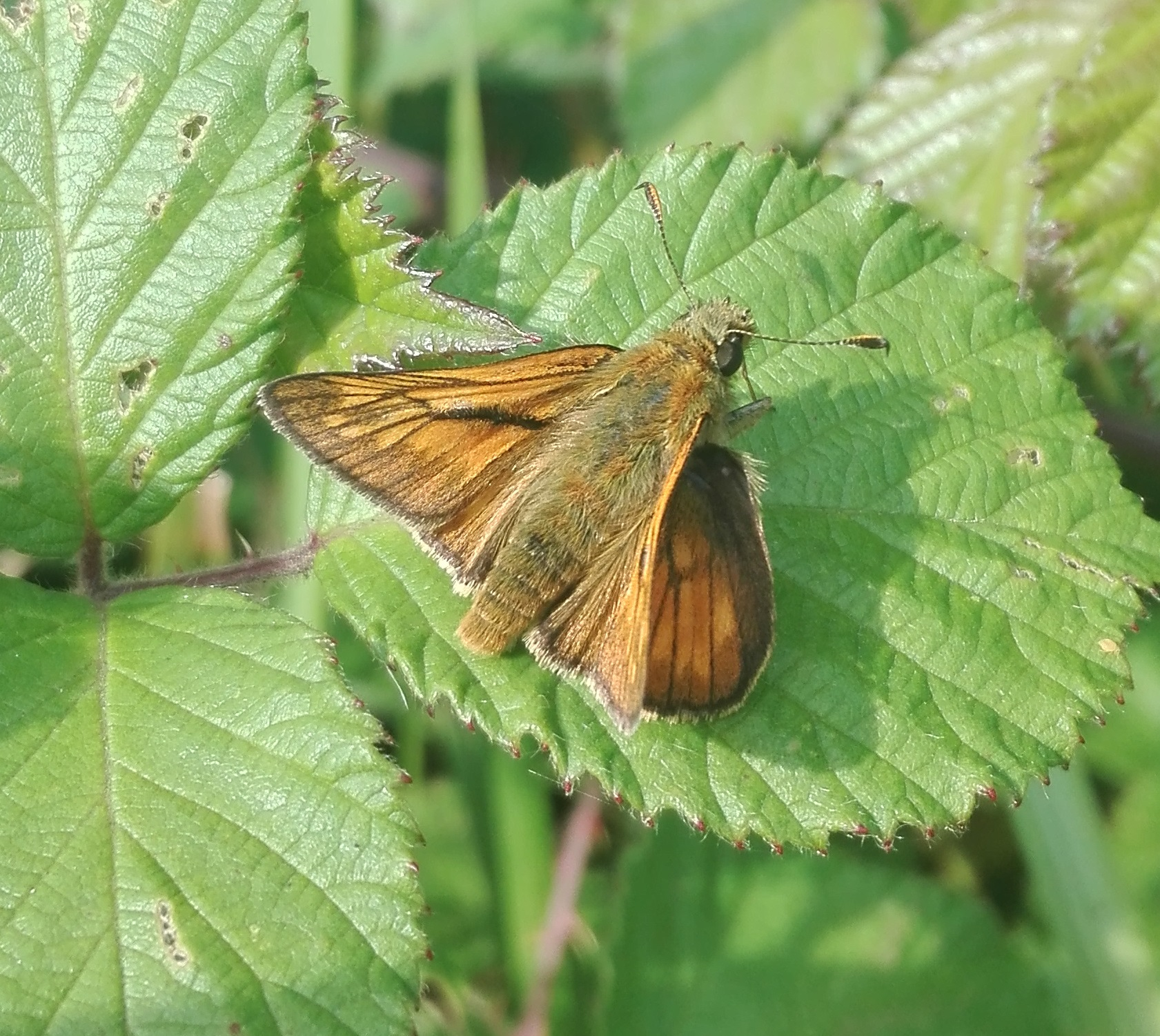Large Skipper (Ochlodes sylvanus) - male