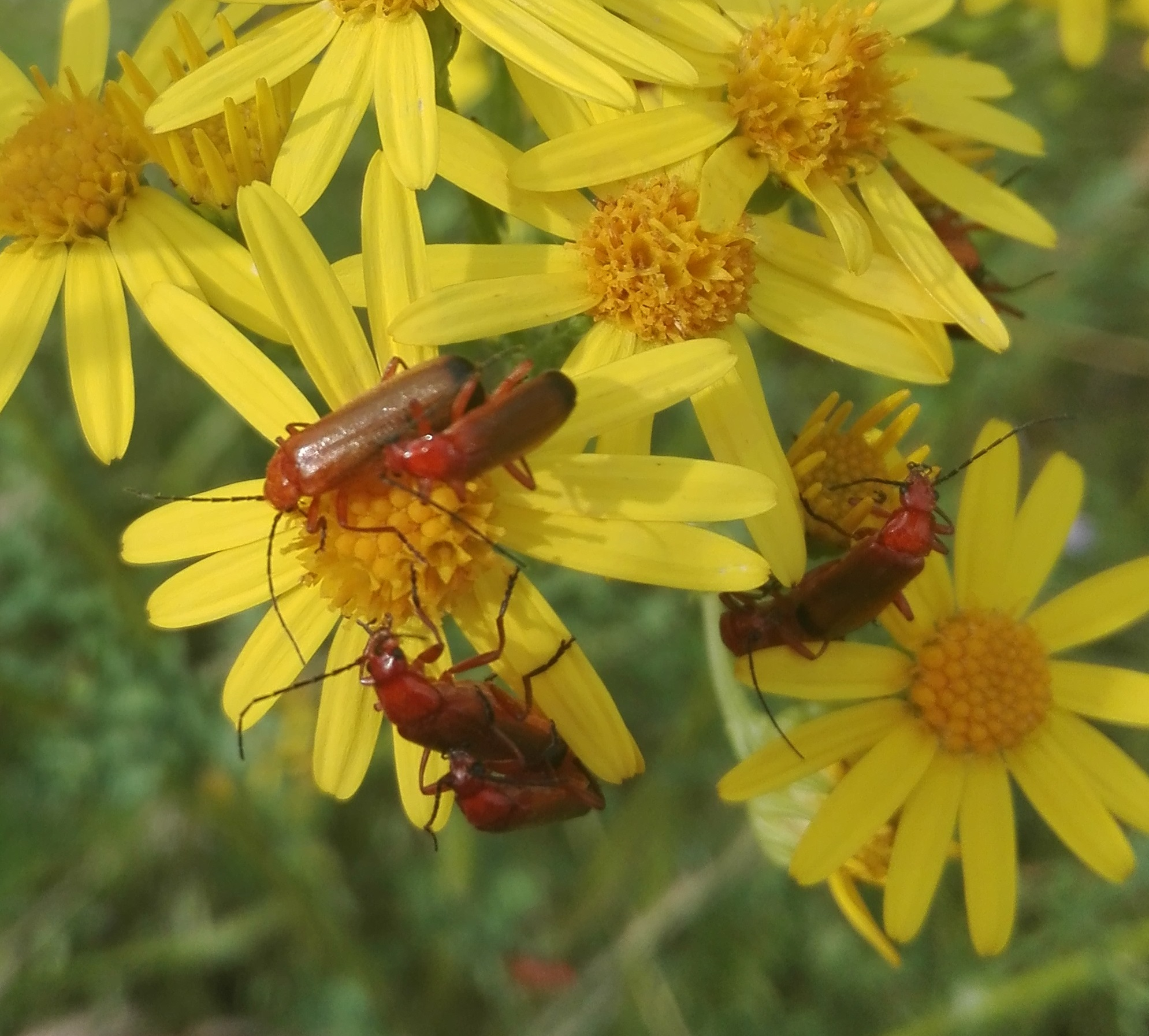 Red Soldier Beetles on Ragwort
