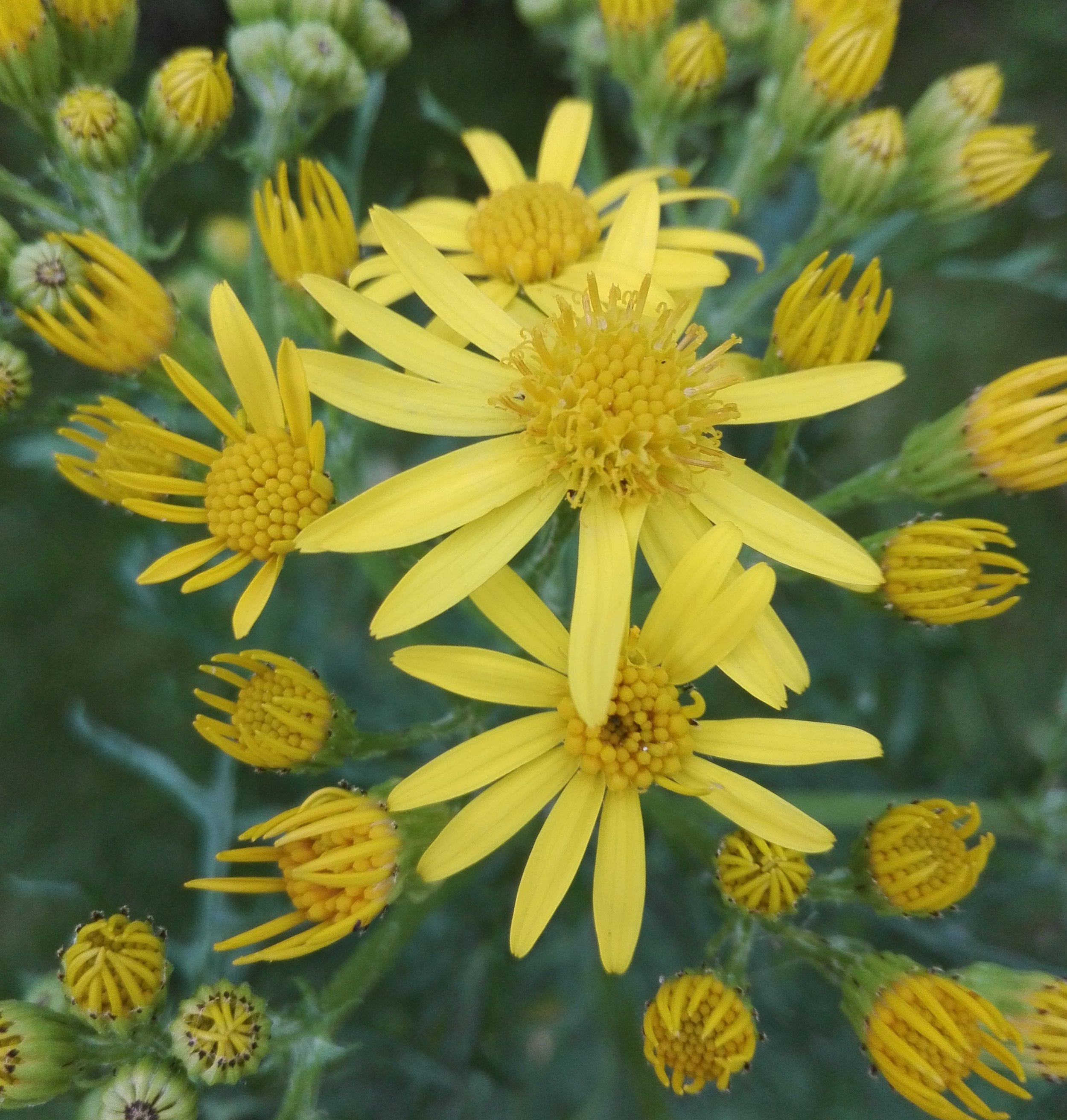 #522 Common Ragwort (Senecio jacobaea)