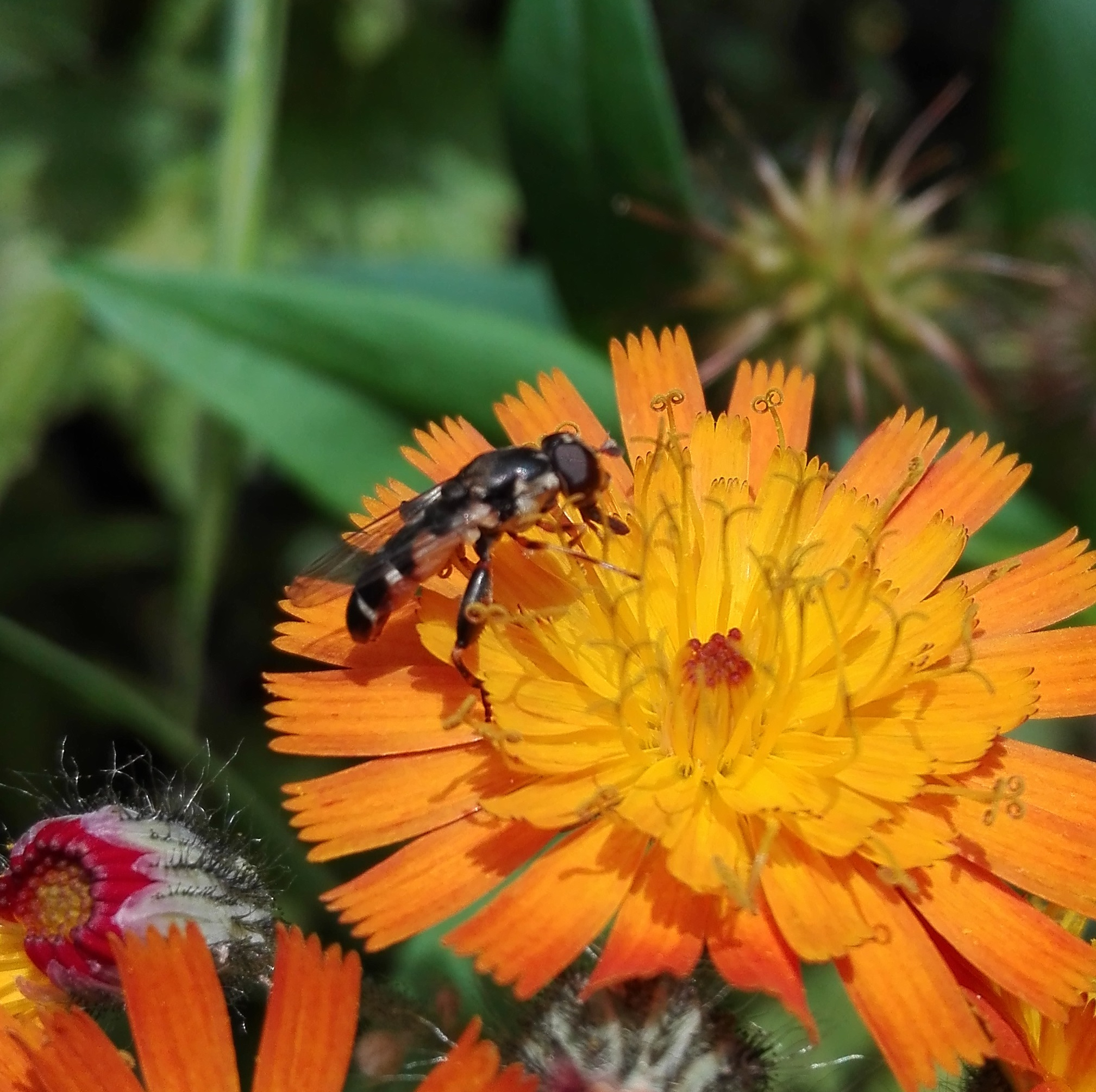 #524 Thick-legged Hoverfly (Syritta pipiens)