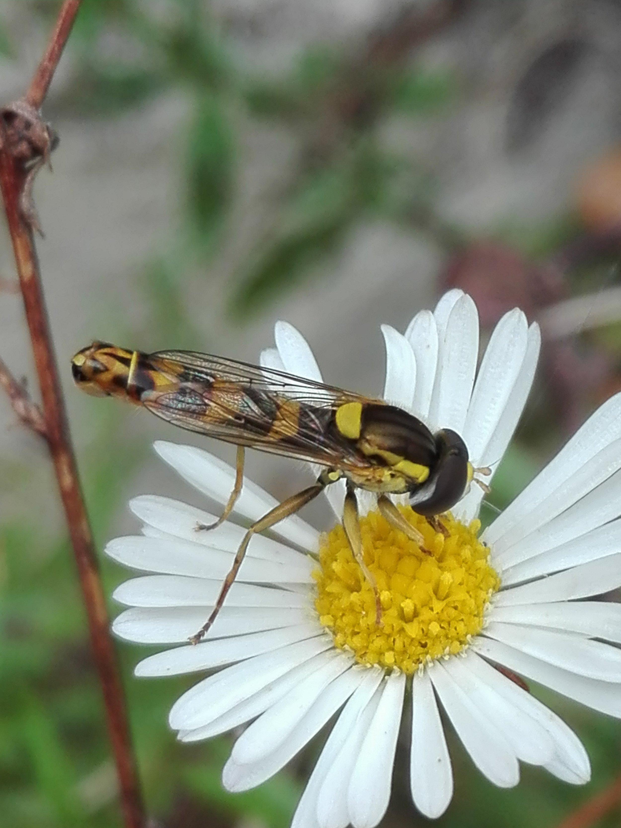 #248 Long Hoverfly (Sphaerophoria scripta )