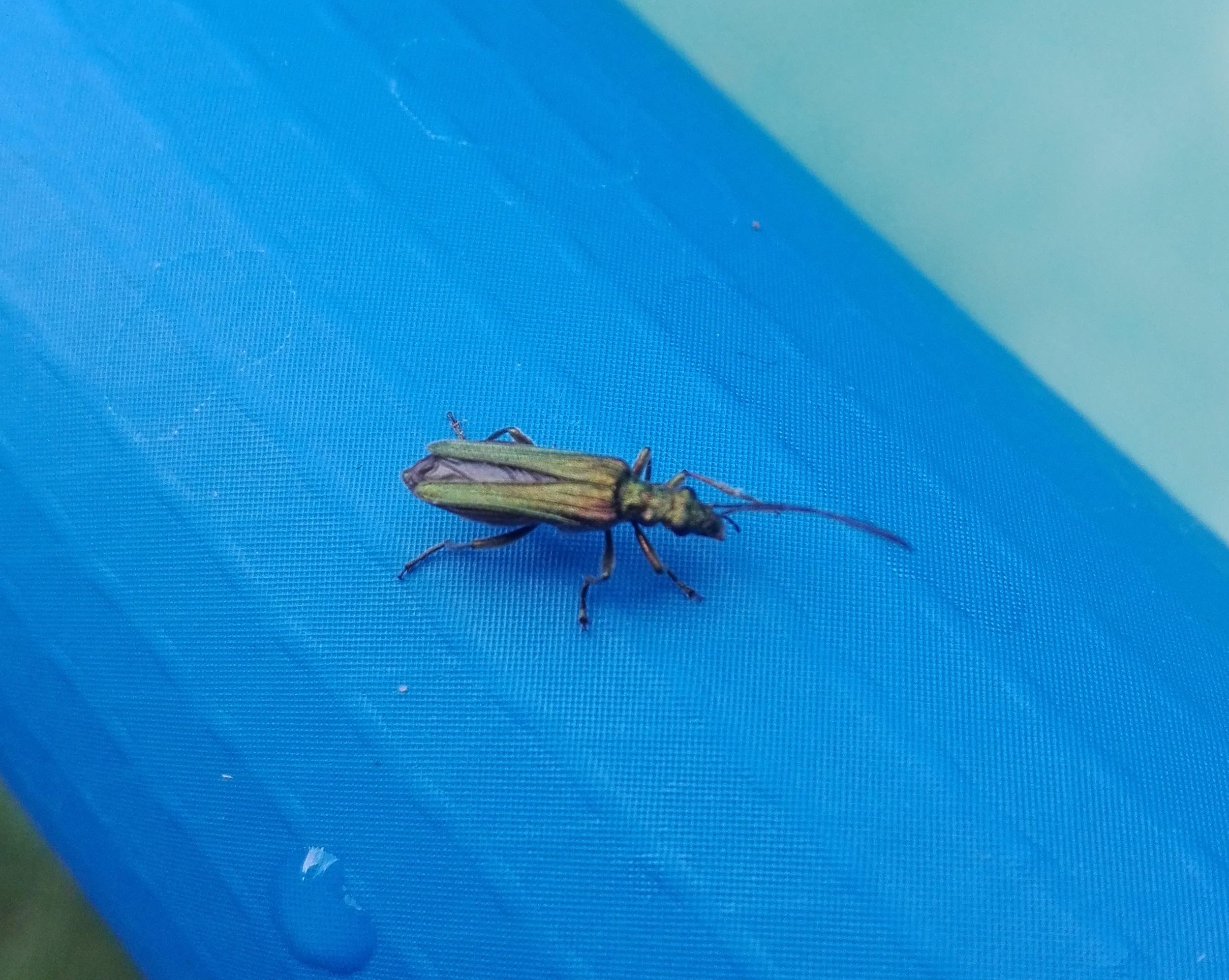 532 Swollen-thighed Beetle.jpg
