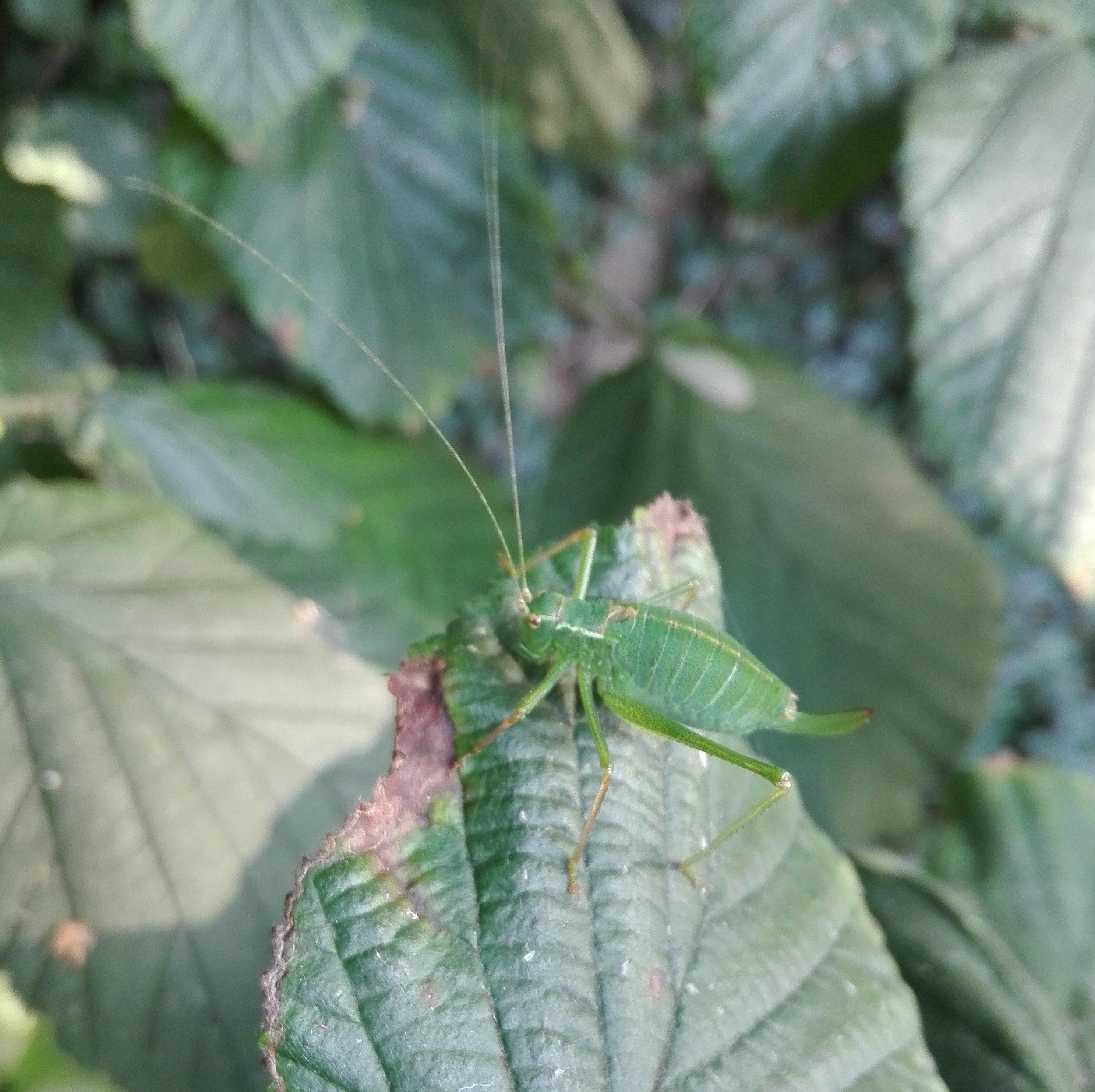 #198 Speckled Bush Cricket (Leptophyes punctatissima)