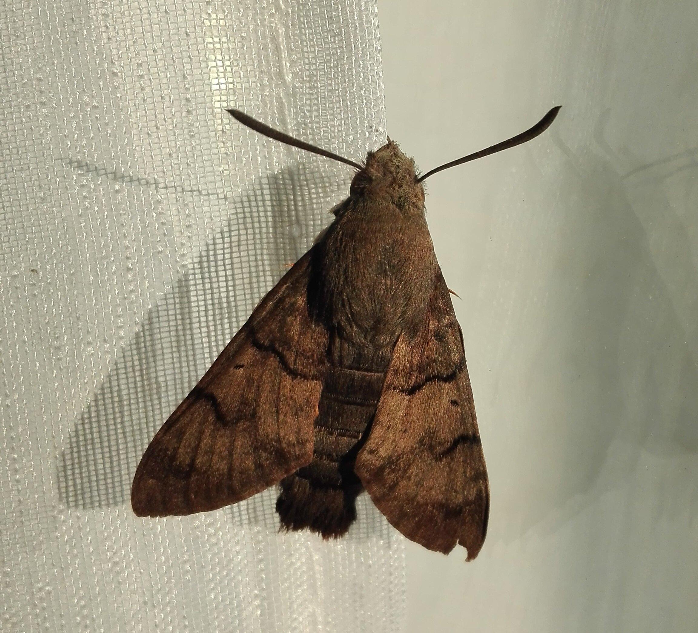 Hummingbird Hawk Moth (Macroglossum stellatarum)