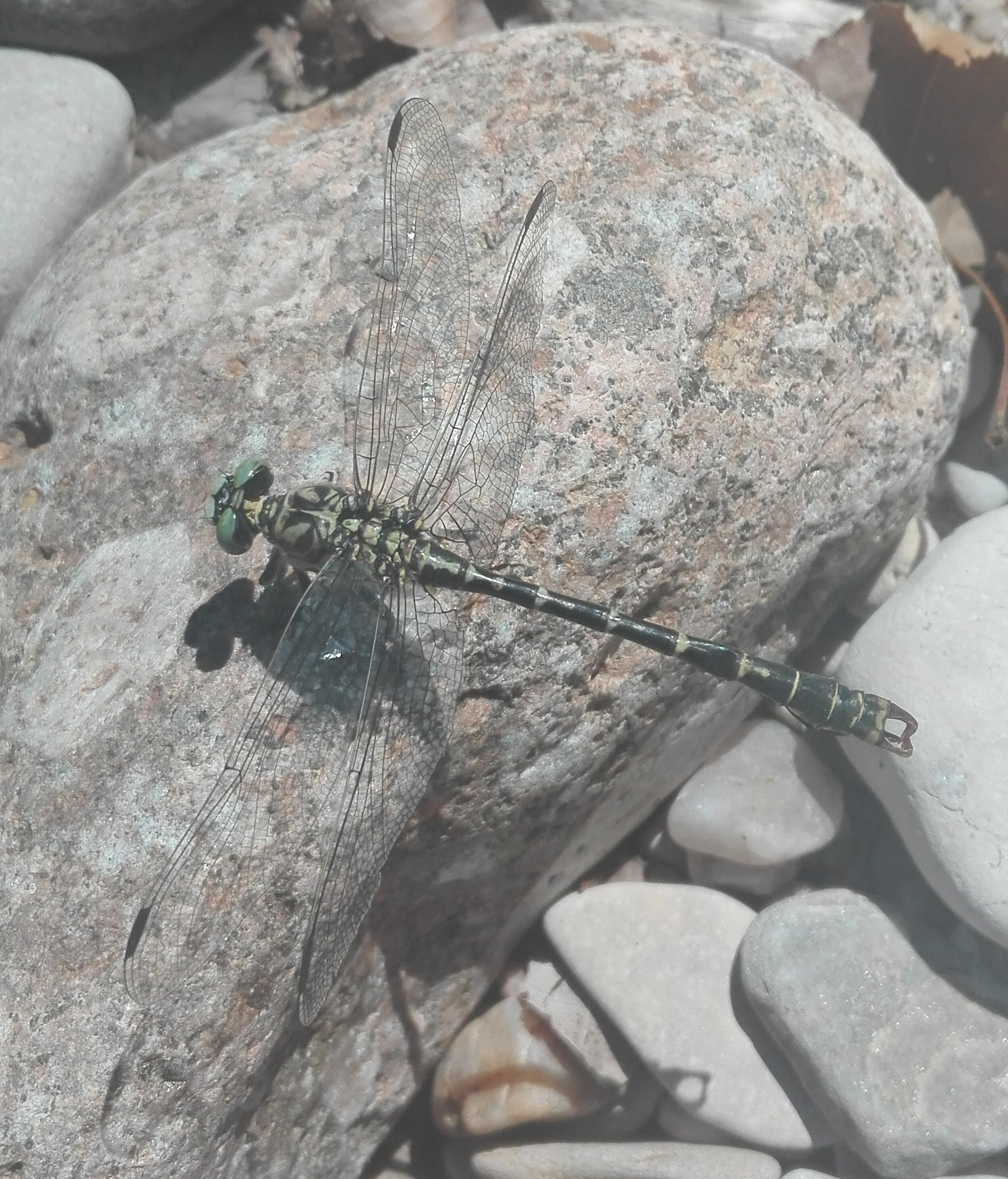 Small Pincertail Dragonfly (Onychogomphus forcipatus)