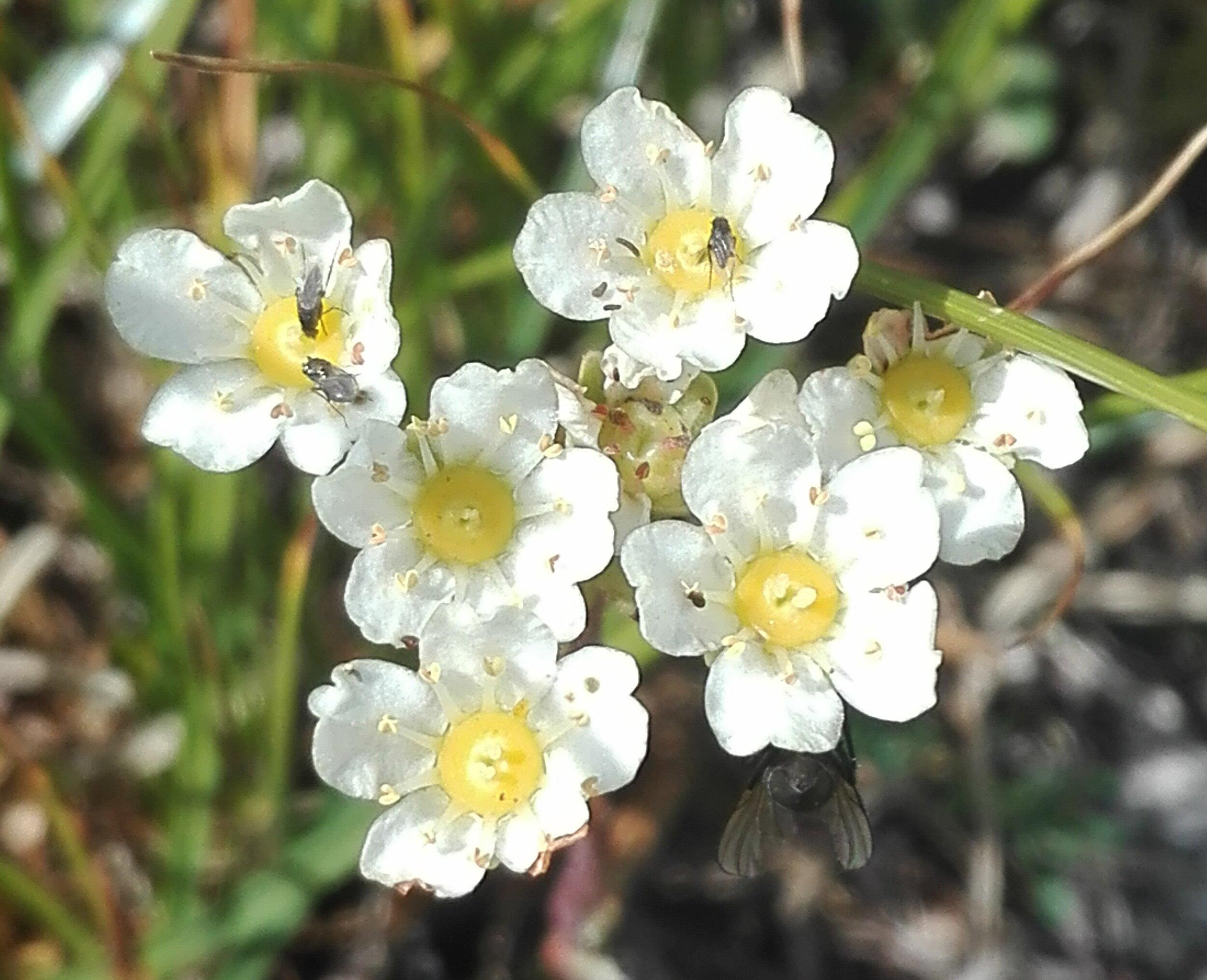 Alpine Saxifrage sp.
