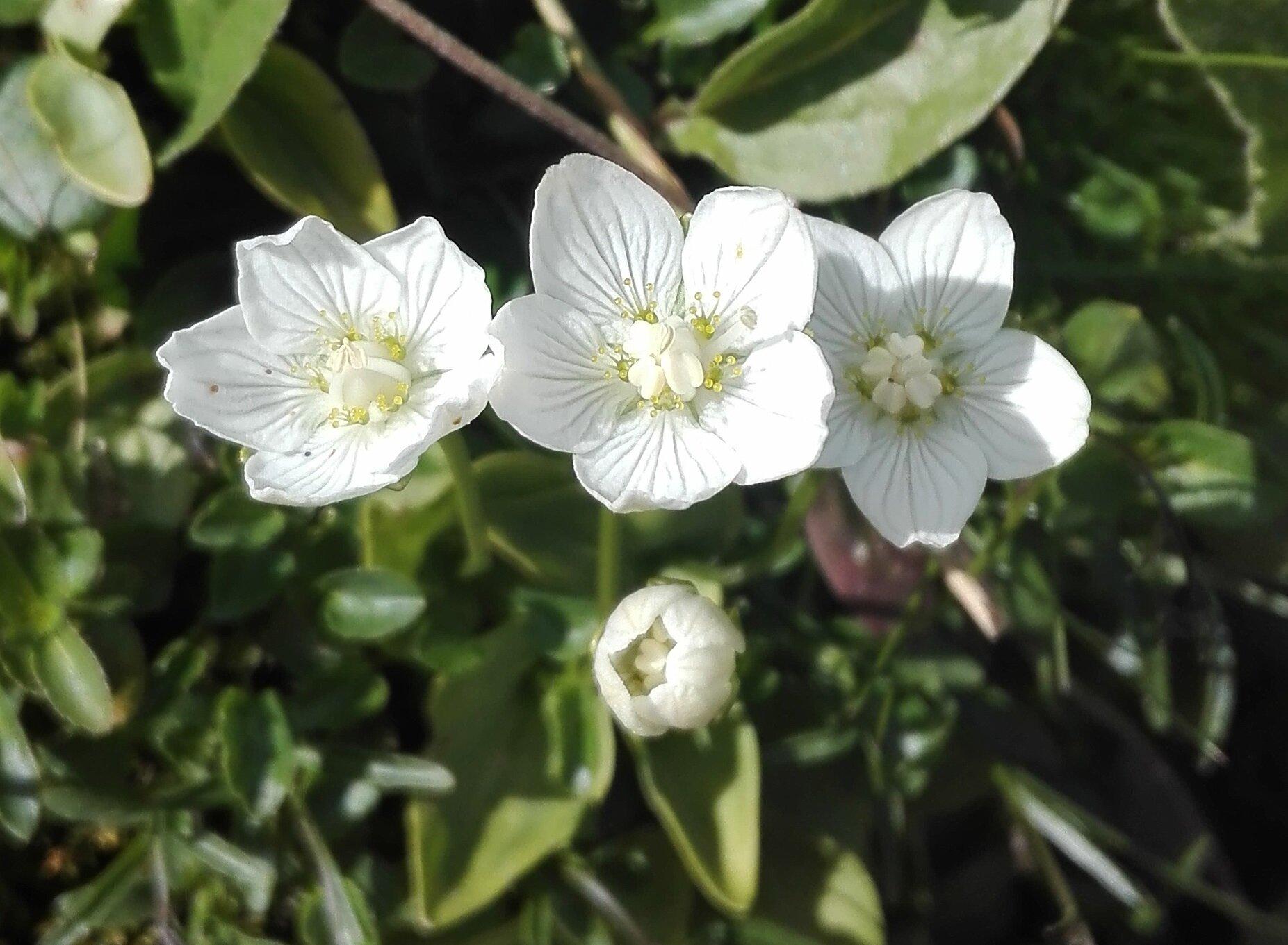 Grass of Parnassus (Parnassia palustris)