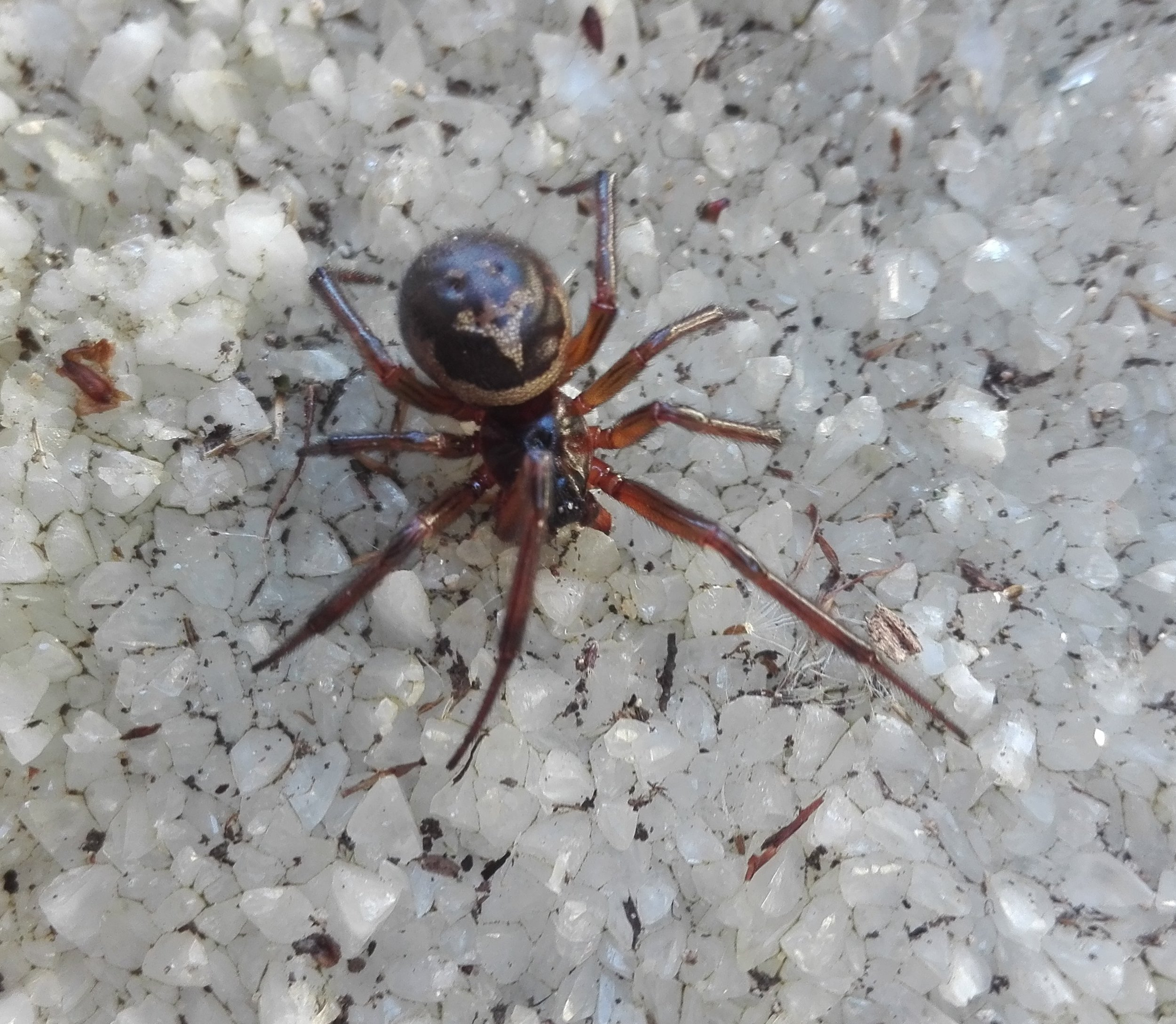 #196 Noble False Widow (Steatoda nobilis)
