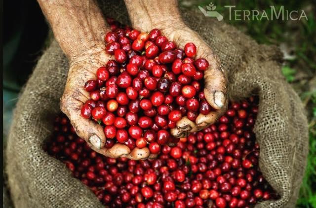 Coffee Cherries in Farmer's Hands