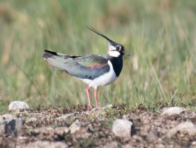 Lapwings are back, but all is not well for these birds…