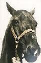 1981 Inductee Animal Midnight.jpg