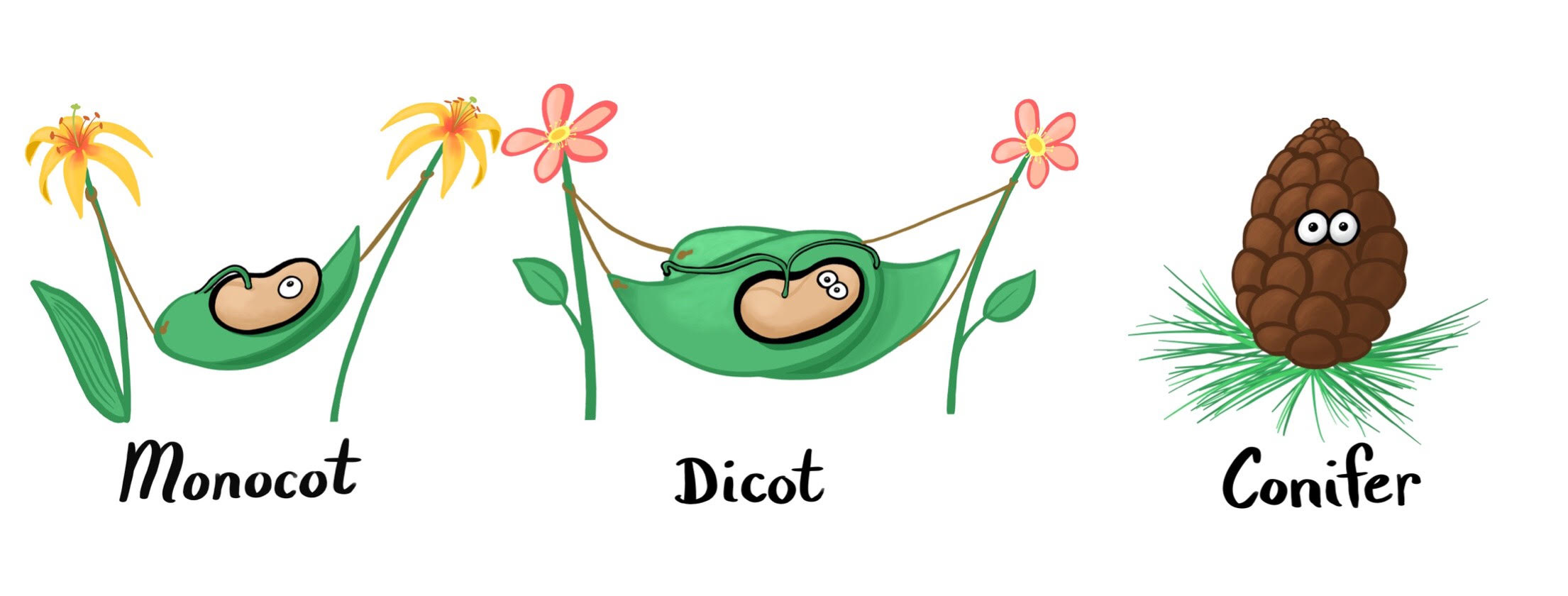 monocot-dicot-conifer.jpg