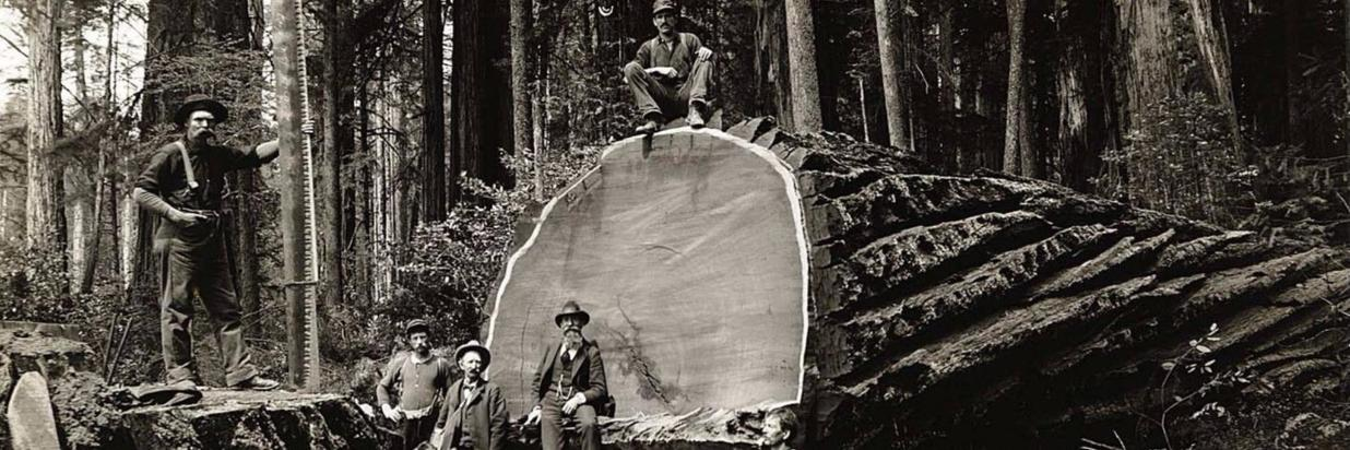 a black and white photo of lumberjacks of yesteryear with a massive cut redwood tree