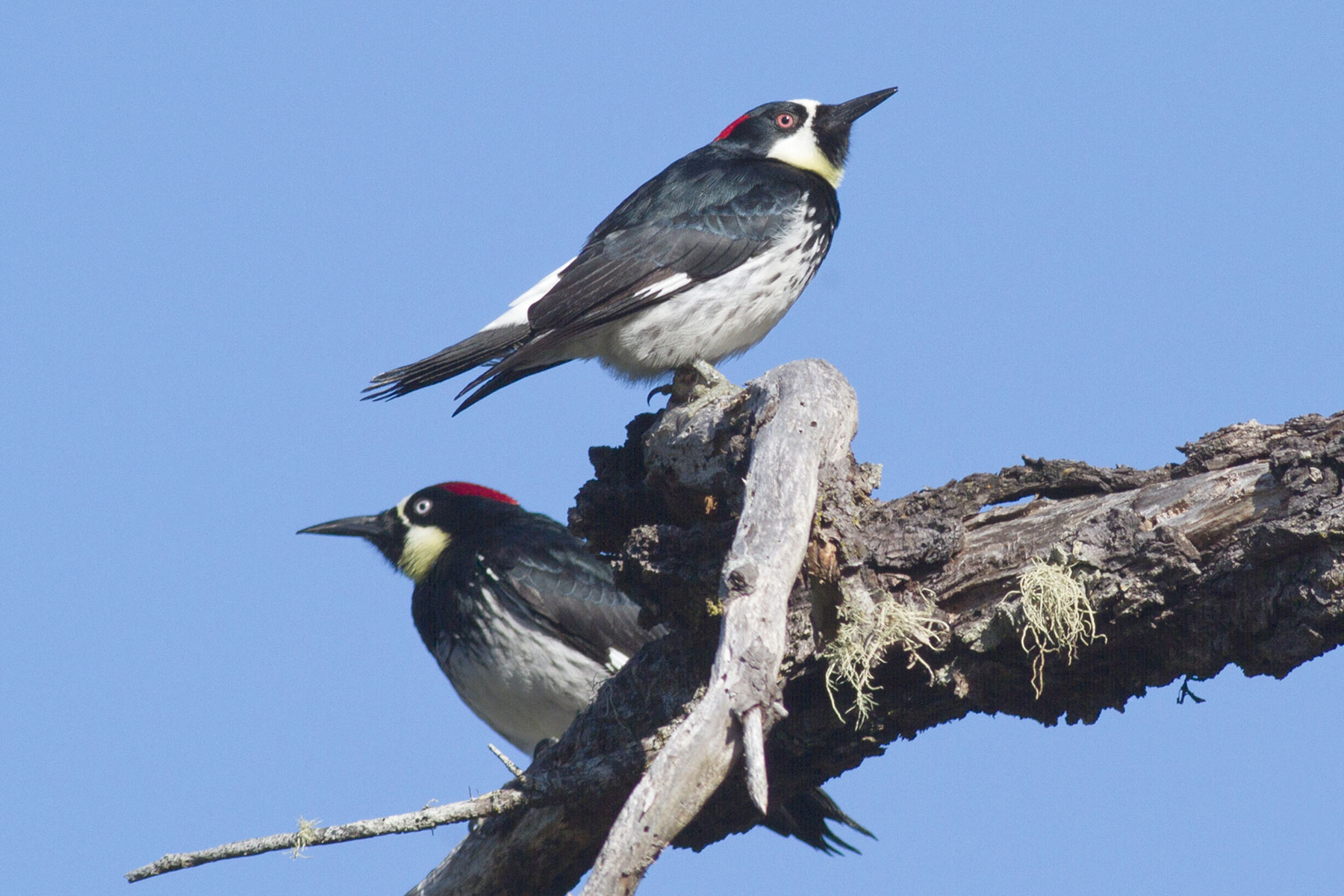 Two woodpeckers sit atop a bare branch with blue sky behind them.