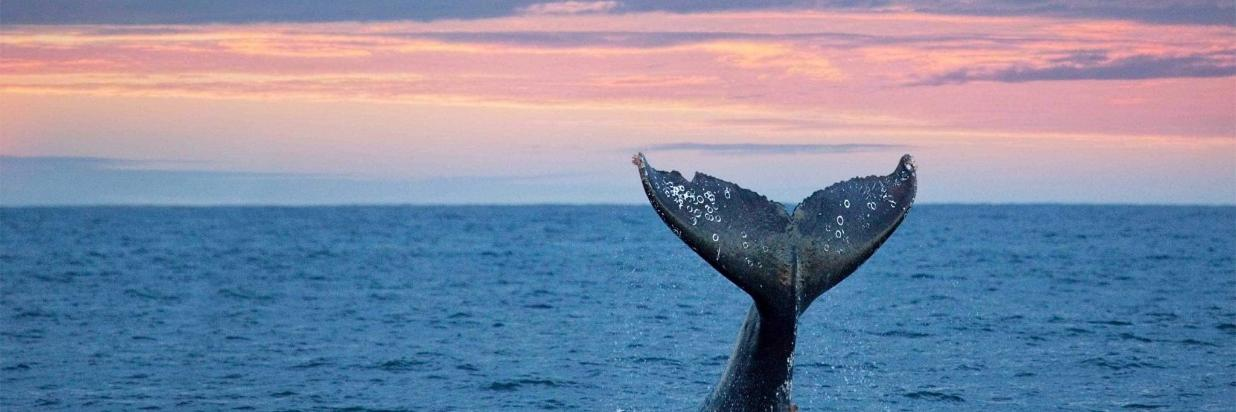 A whale's tail breaks through the water as the sunset paints the sky pink above the Pacific Ocean.