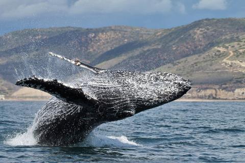 Grey Whale Breaching