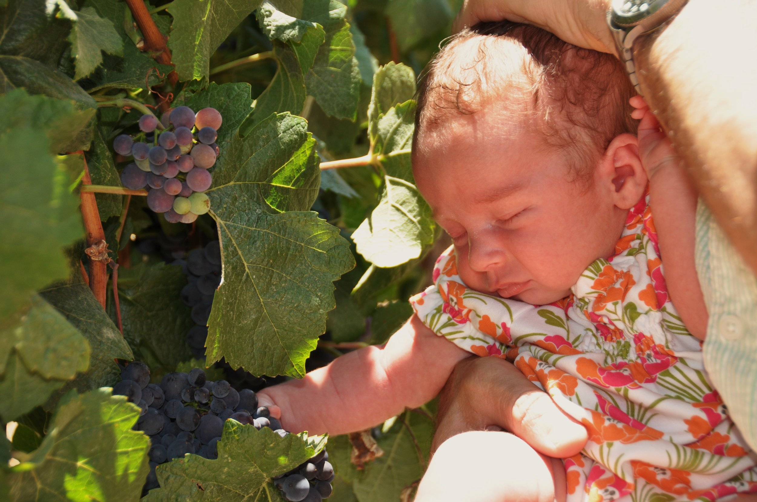 Baby Ella inspecting the grapes.
