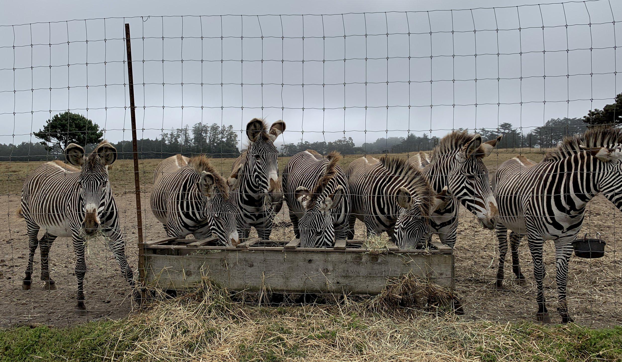 The ladies of the Grevy's herd were definitely keeping their eyes on us.