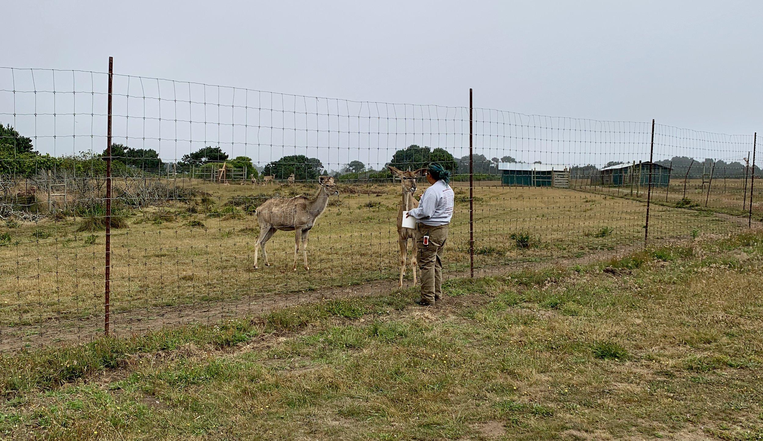 Beautifully shy kudu