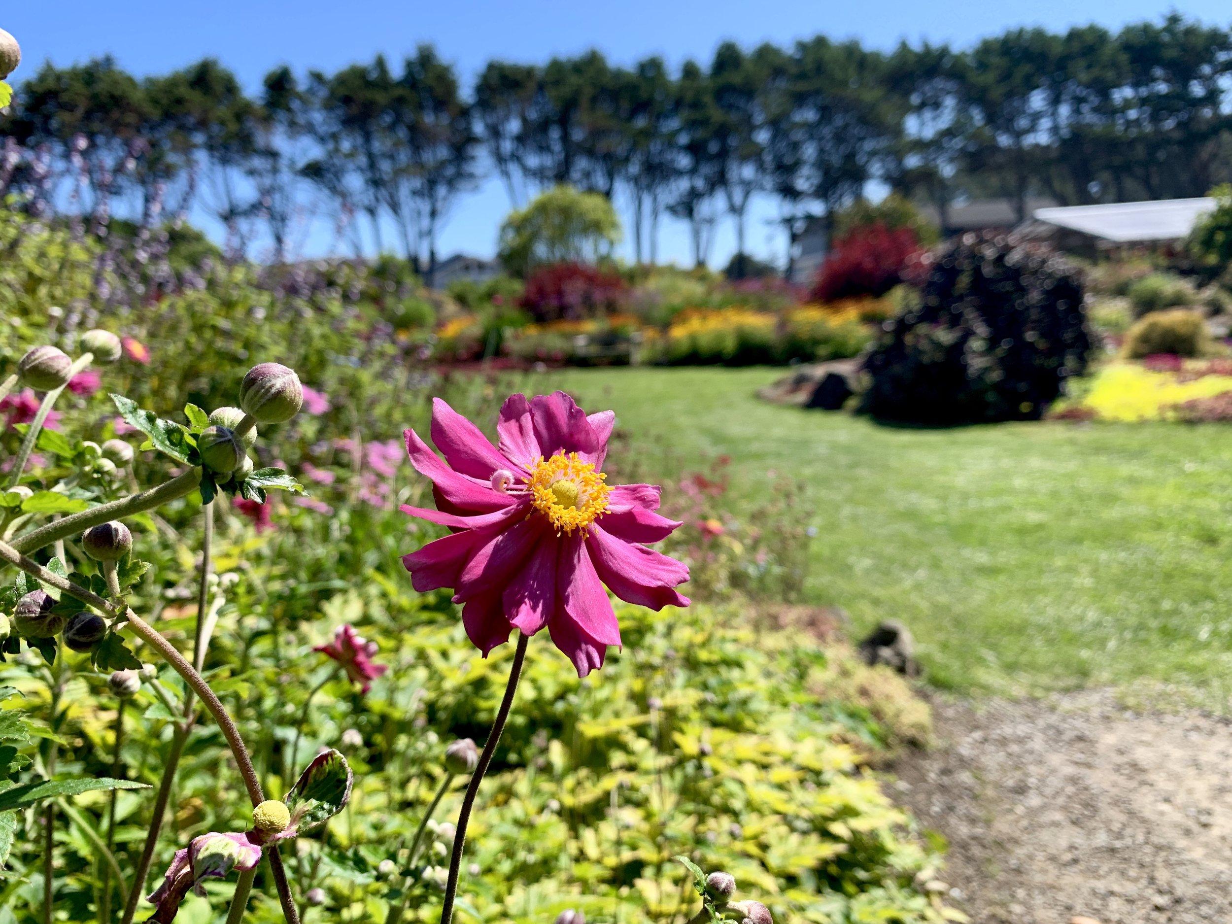 Japanese Anemone in the perennial garden