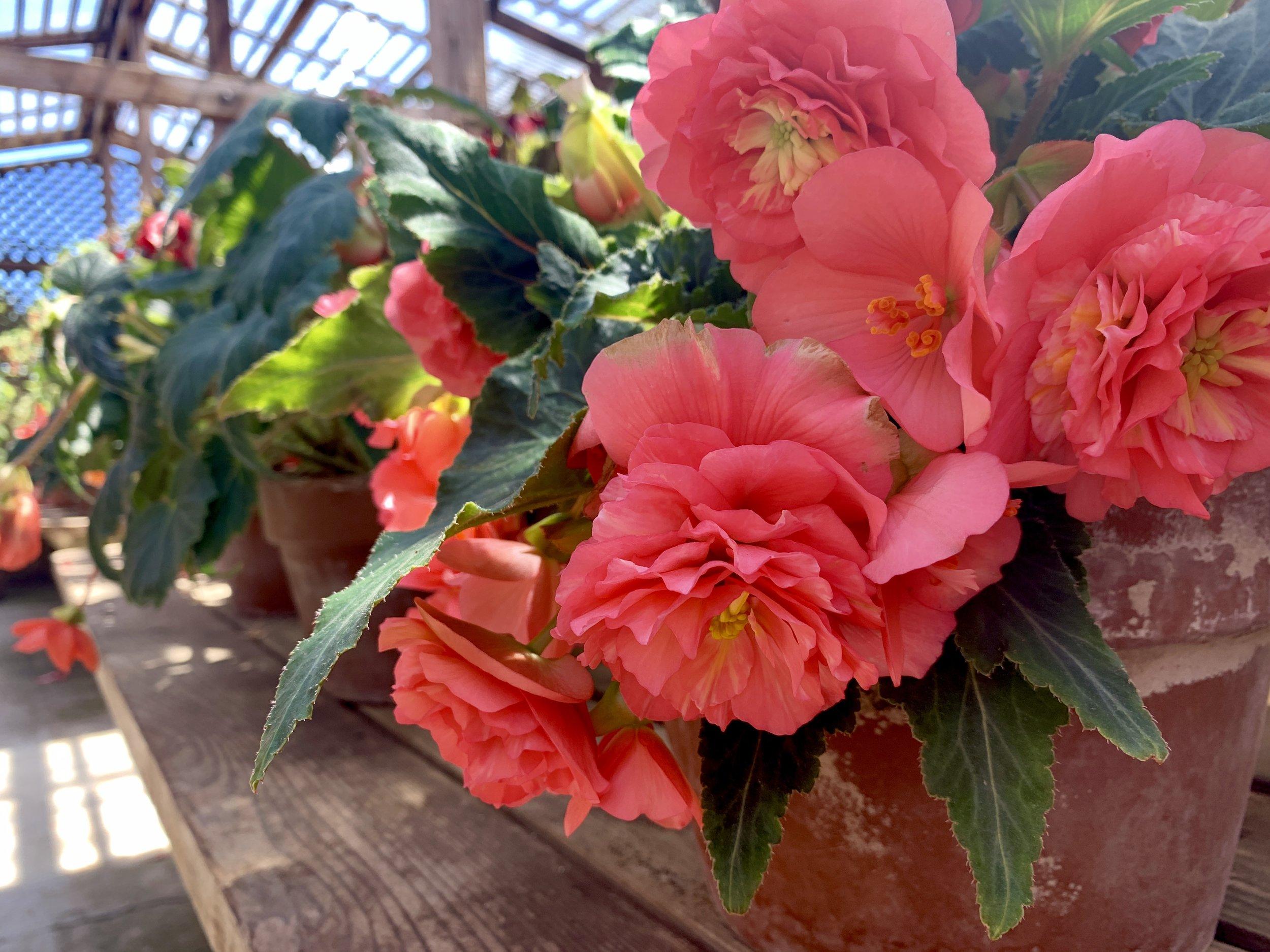 Begonia beauties
