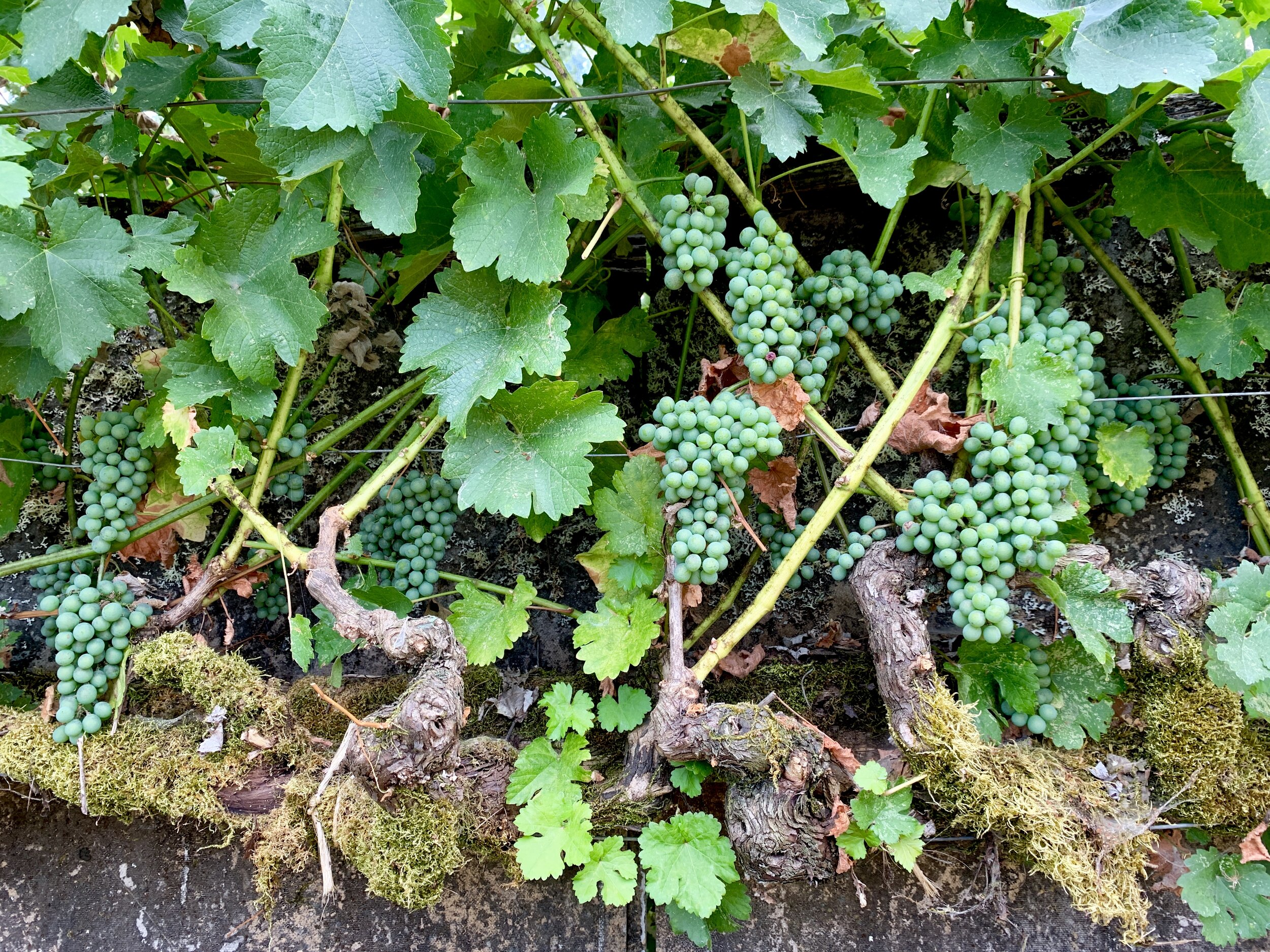 Mossy old Sauvignon Blanc vines twist across the back fence of the property.