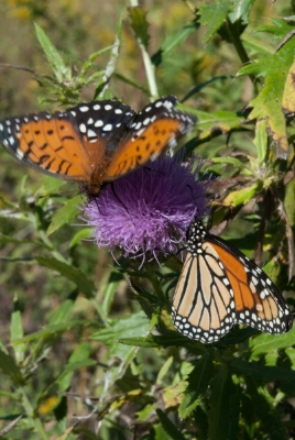 CRP fields are beneficial for pollinating insects. Photo by Ron Klataske