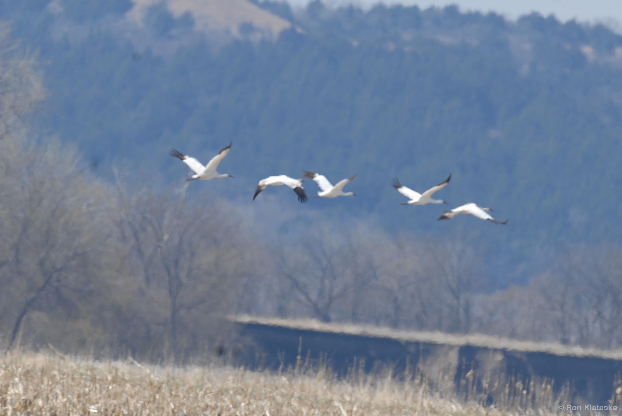 Whooping Cranes near Kaw River by Ron Klataske