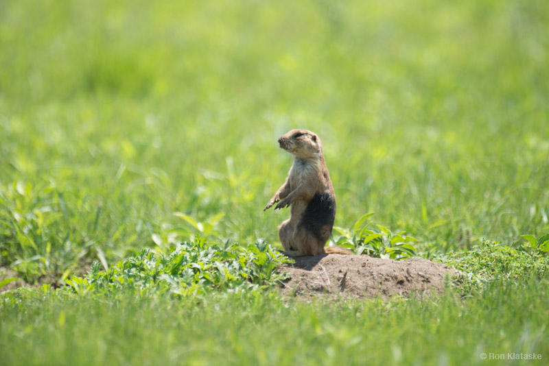 A newly relocated prairie dog sits atop a burrow and observes its surroundings on the Niobrara Sanctuary. Dark hair dye was used to identify released prairie dogs. Photo by Ron Klataske