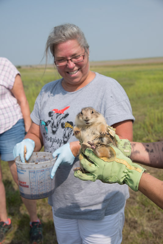 Prairie dog release Aug 2018 by Ron Klataske.jpg