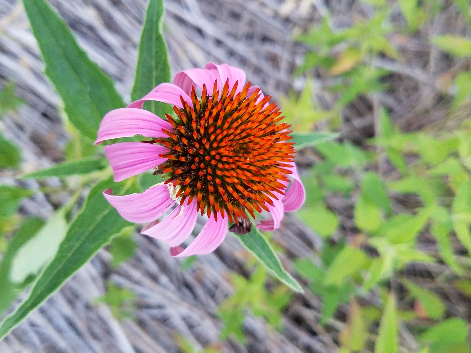 Echinacea in June on Bird Runner Wildlife Refuge. Photo by Margy Stewart.