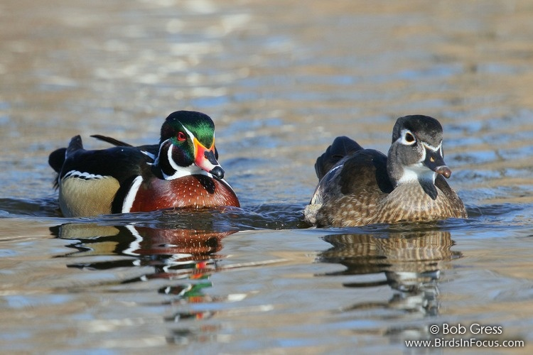 Wood ducks by Bob Gress,    Birds in Focus
