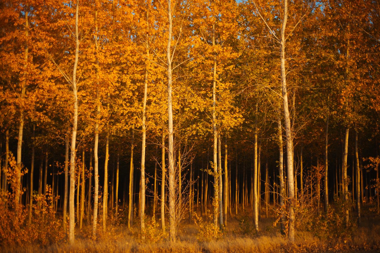 yellow leaves.jpeg