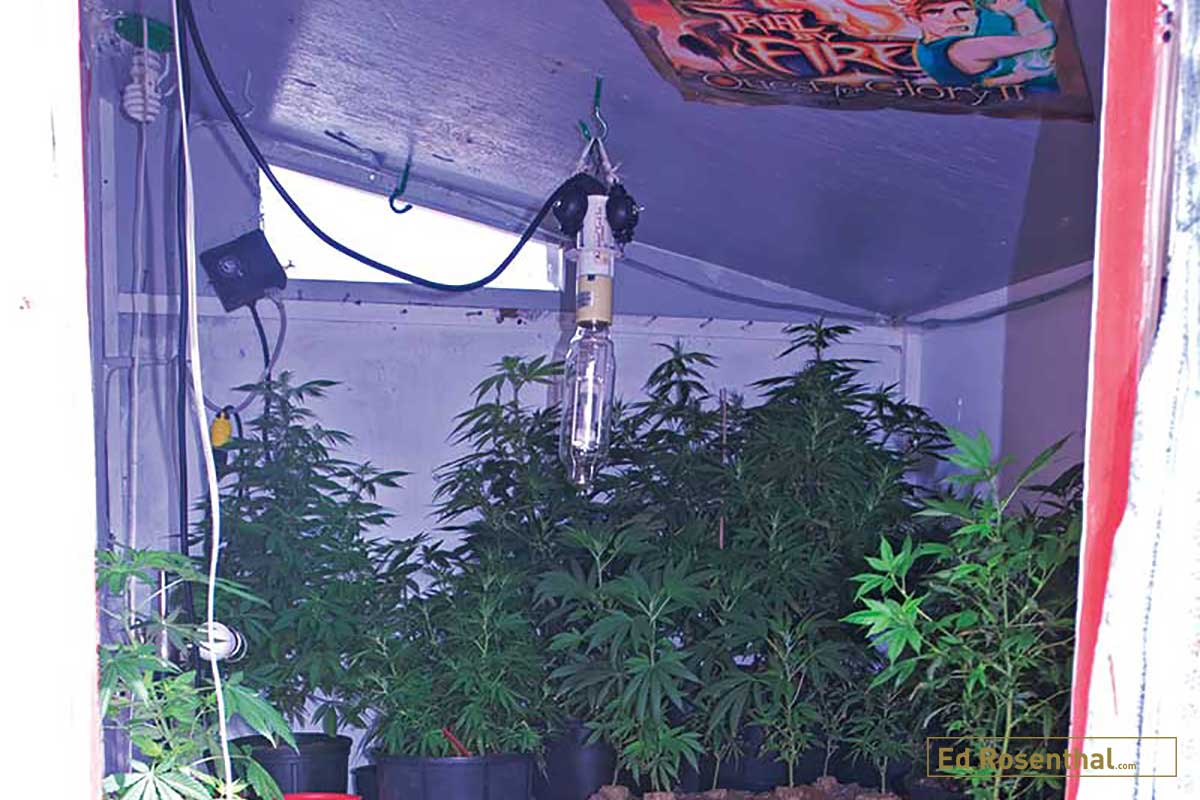 Dennis' grow room was used to get plants ready to grow outside. Clones are grown up a bit, and then transplanted to a larger container. The bare light bulb illuminates the entire room, which is filled with plants on the floor and shelves along the walls.