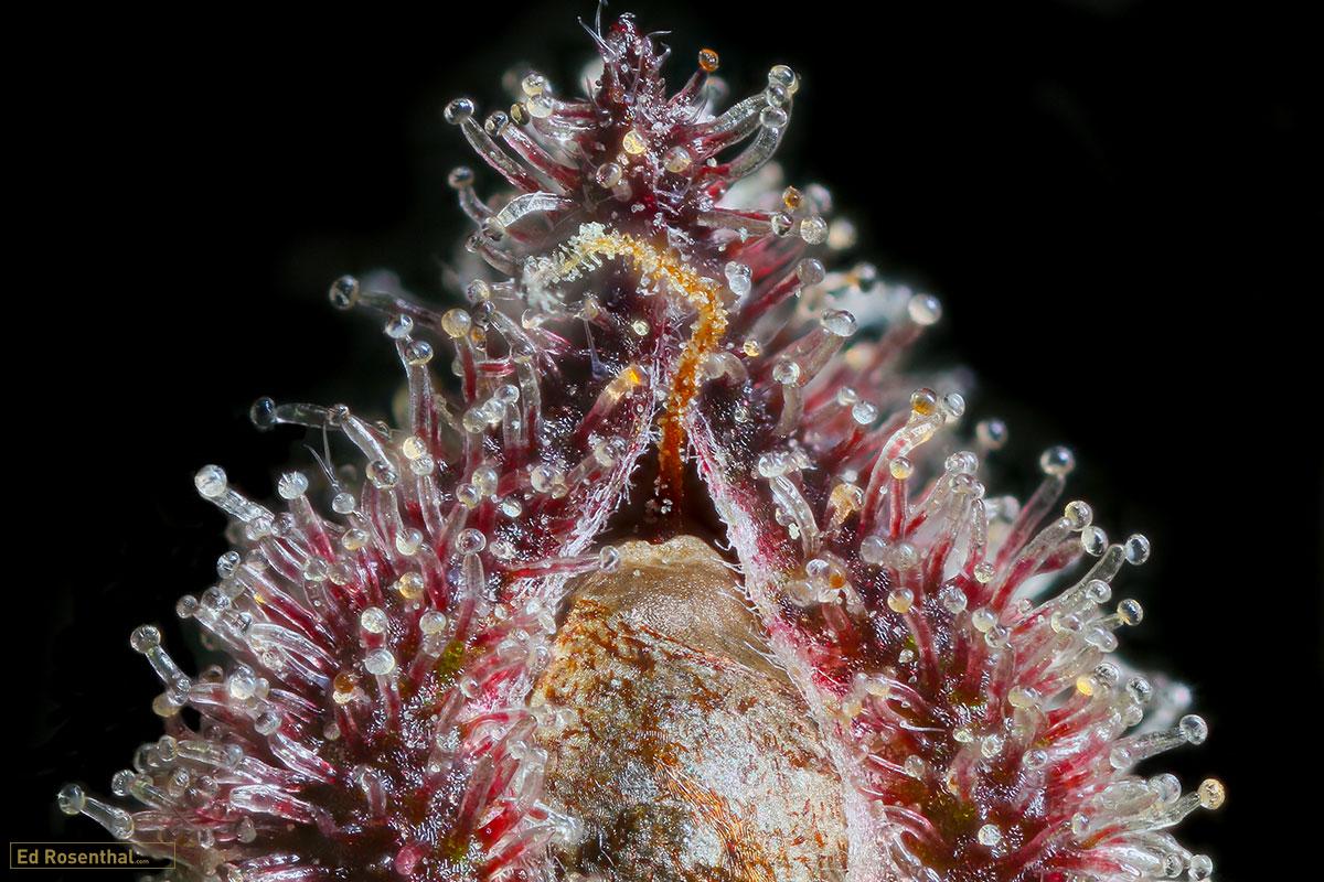 Ringos Gift F3 Relic Seeds - Photo credit Dynasty Genetics Professor P.