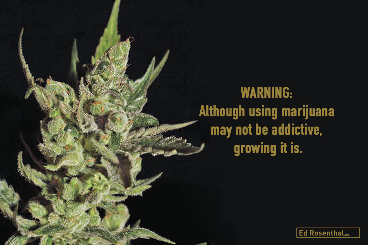 EXODUS CHEESE Skunk #1 x clone-only strain, UK; Feminized; Indica/Sativa: mainly Indica, Flowering: 50-60 days; High: body relaxing, electric, giggly, happy, playful; Smell/Taste: dark, floral, musky, skunk, woodsy. By Green House Seed
