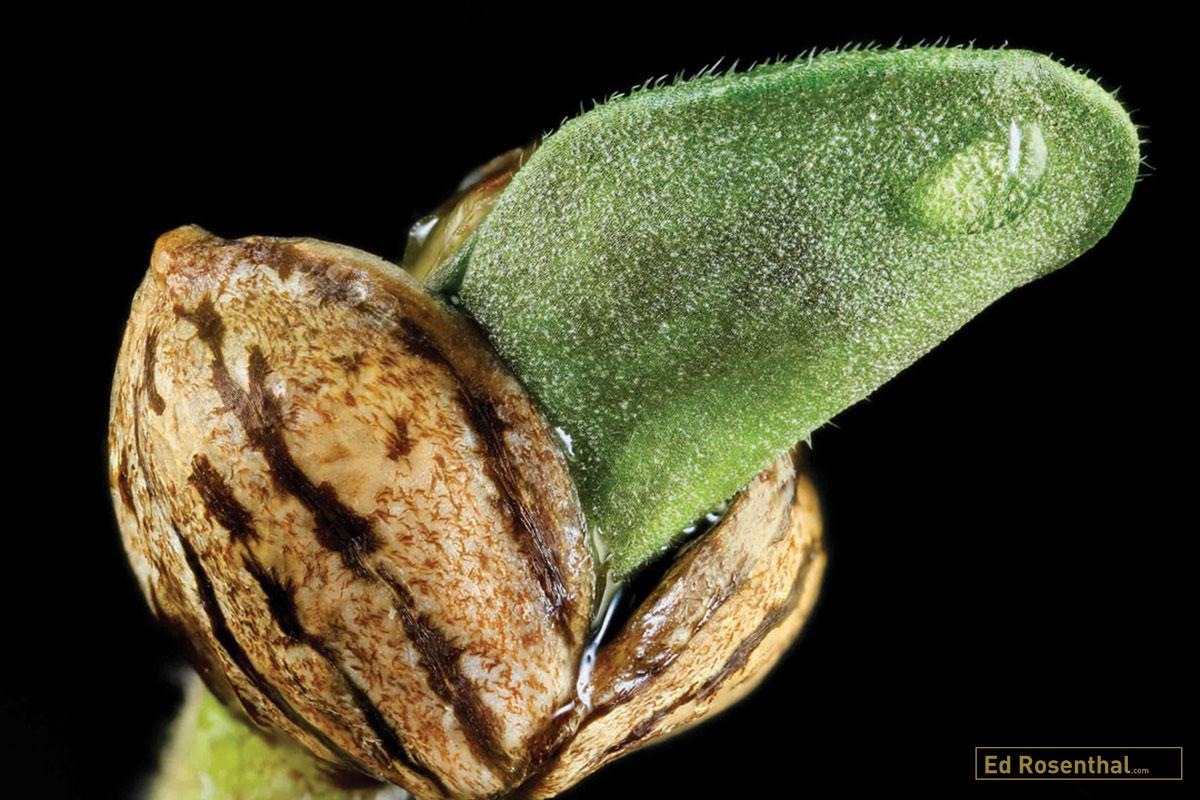 Mt.Hood Huckleberry F3 Seedling Credit: Dynasty Seeds. Photo Professor P of  Dynasty Seeds