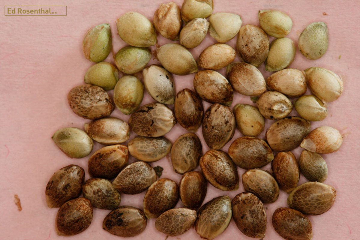 Cannabis seeds.