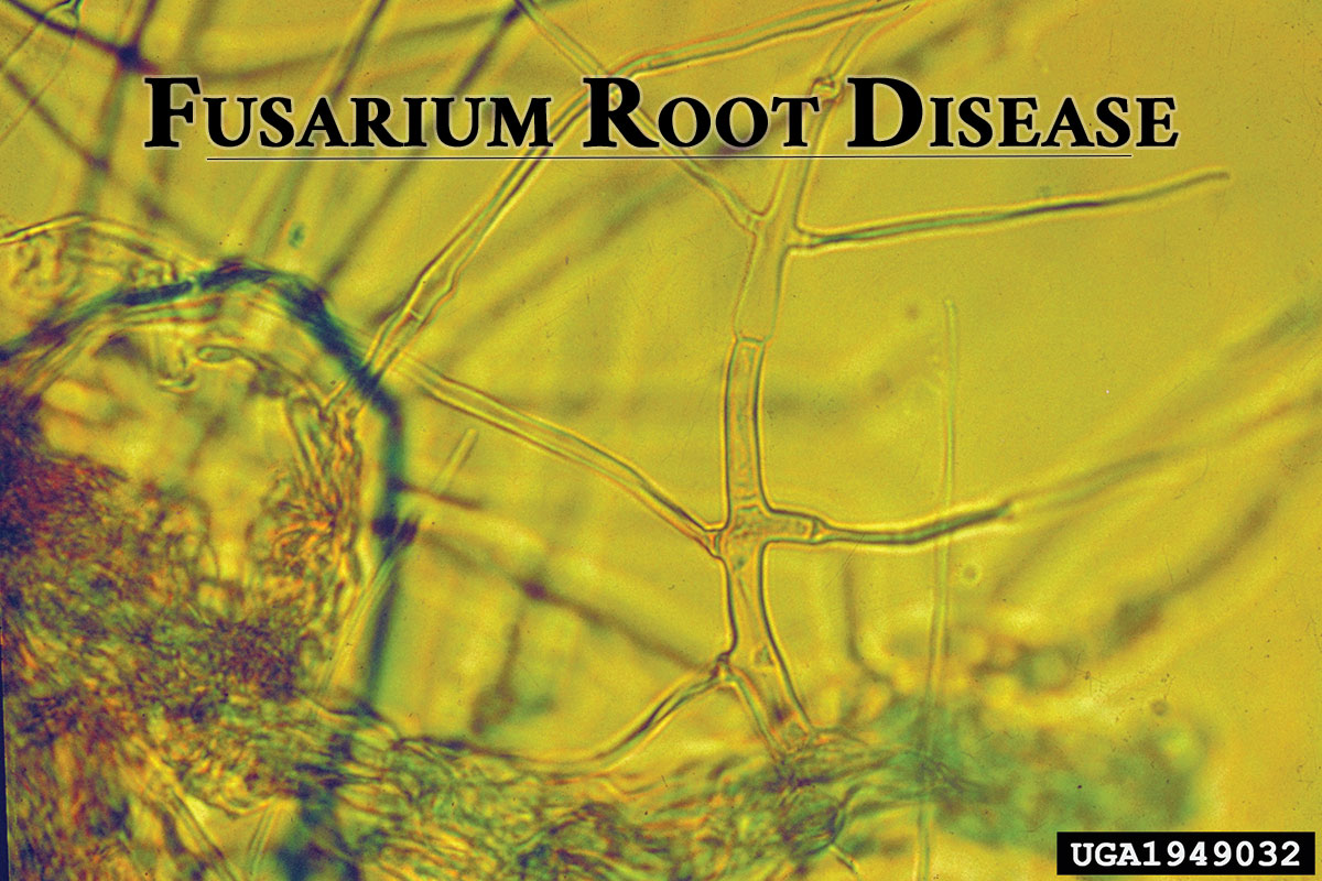 Phymatotrichopsis-omnivora--magnification-of-phymatotrichum-root-rot.-S.D.-Lyda,-Bugwood.org_Ed_Rosenthal.jpg