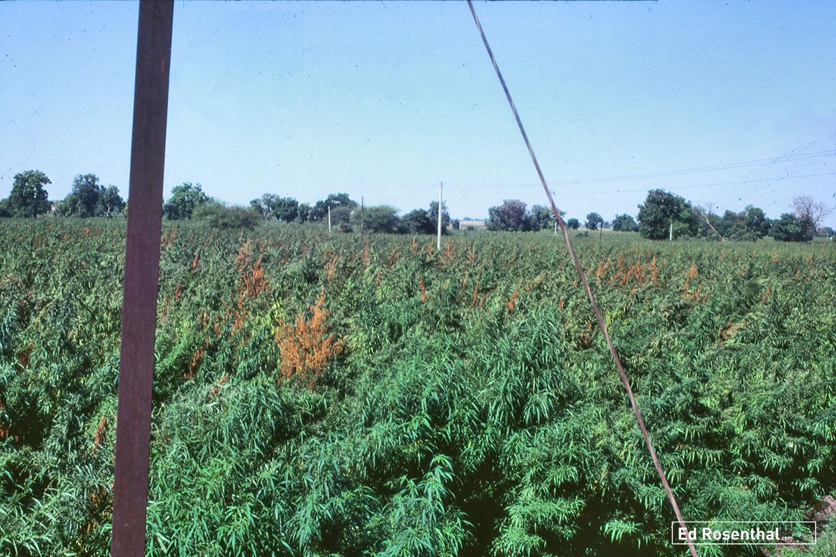 Fusarium infected cannabis crop in India.