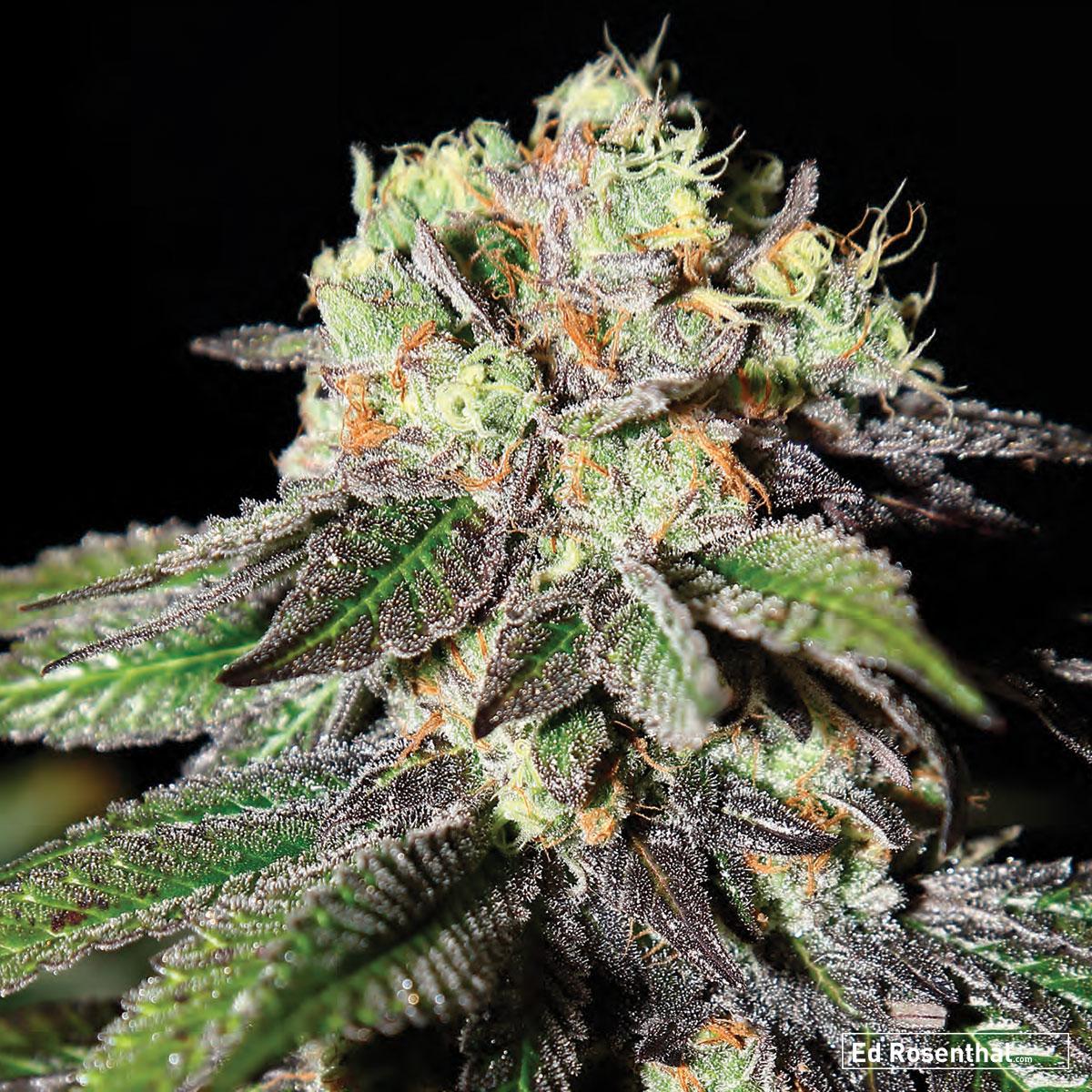 Strain Hunters Seed Bank - 70 S / 30 I - Trippy, stony, intense - Fruity, metallic