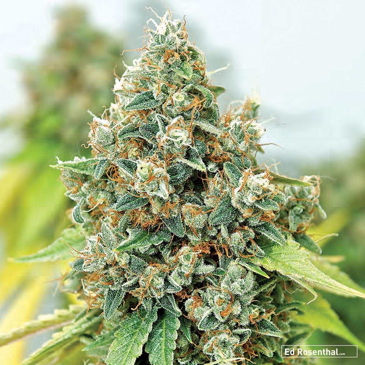 Greenthumb Seeds of Canada  - 70 S / 30 I - Uplifting, heady, happy - Hashy